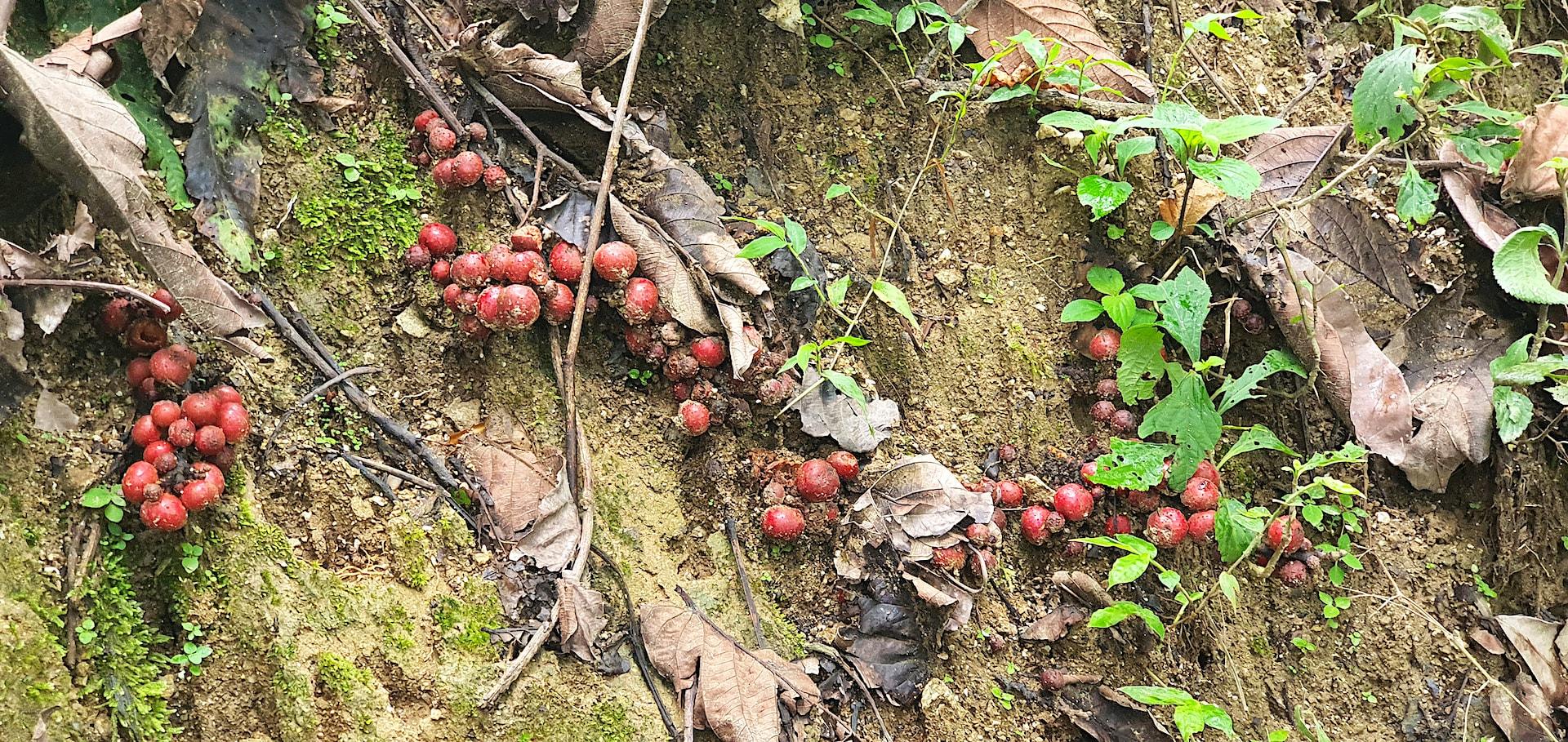 arunachal-pradesh-ripe-fig-fruits-on-forest-floor-food-for-impressed-tortoise