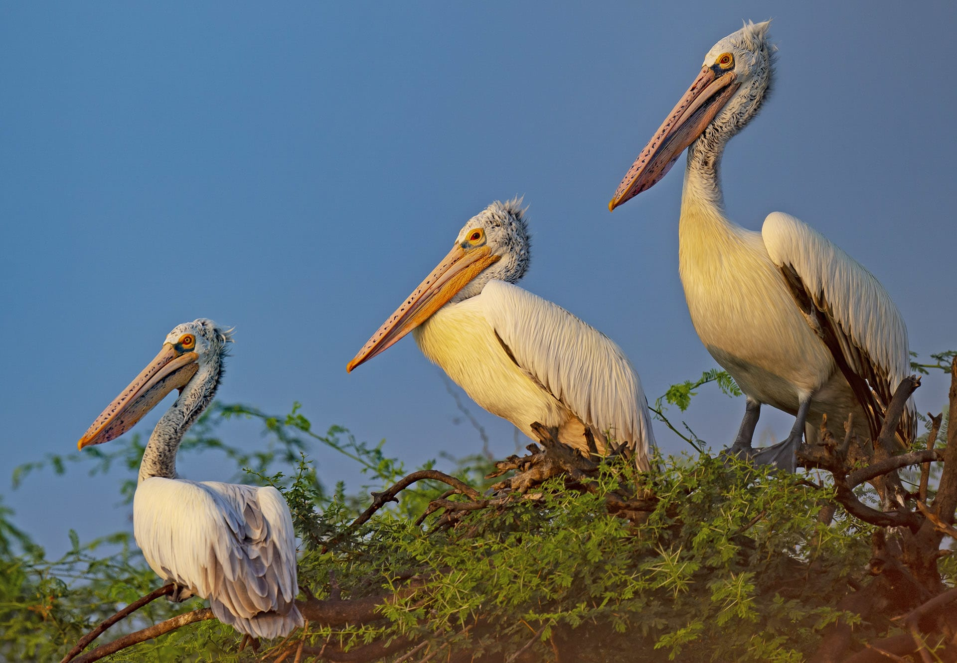 spot-billed pelicans at Kolleru Lake in Andhra Pradesh are threatened by excessive fishing and industrial pollution