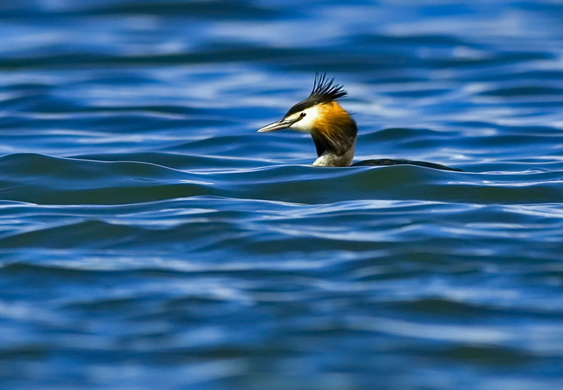 great crested grebe at Tso Moriri in Ladakh is threatened by rising tourist activity