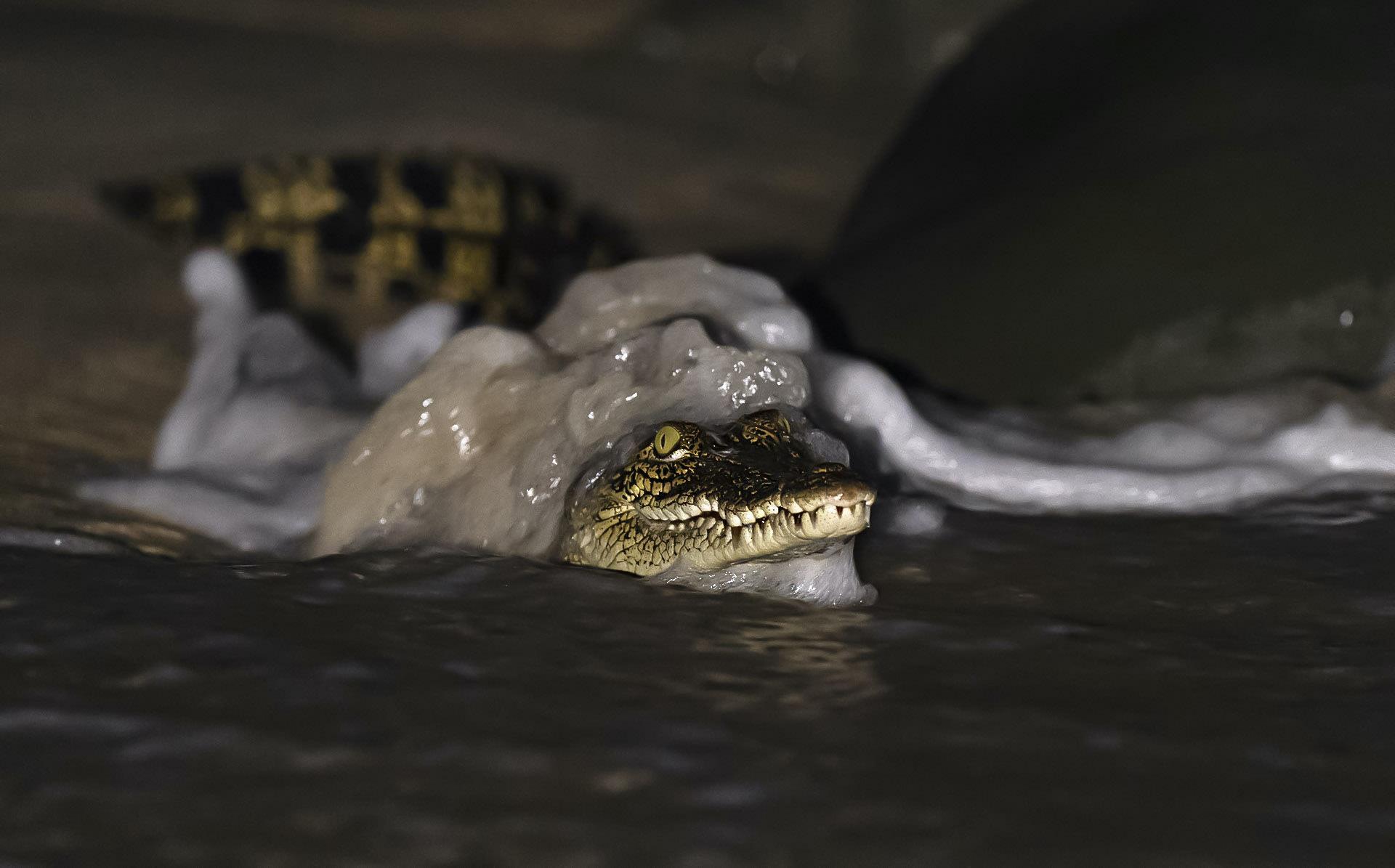 Crocodile at Galathea