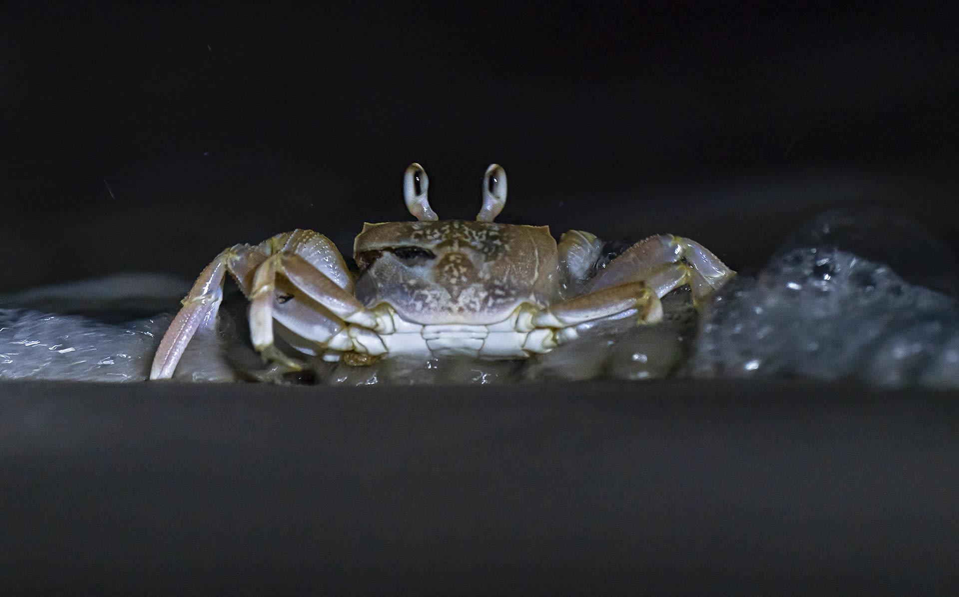 Ghost crab at Galathea
