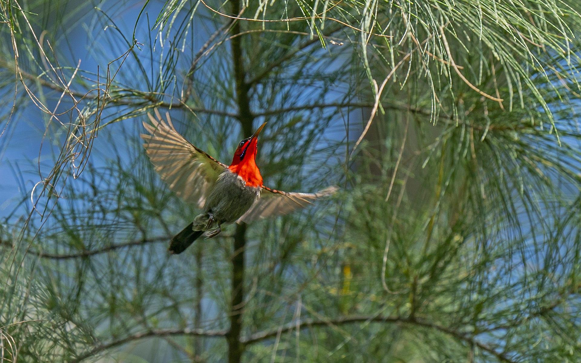 Crimson sunbird at Galathea