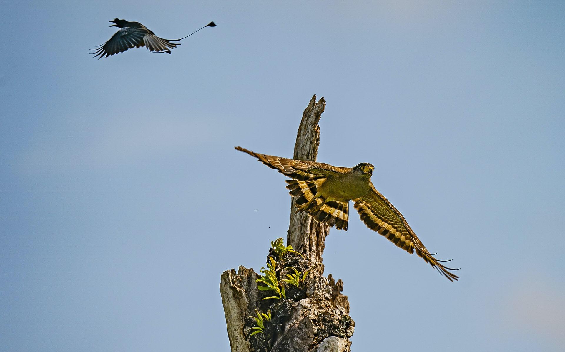 Nicobar serpent eagle and racket tailed drongo at Galathea