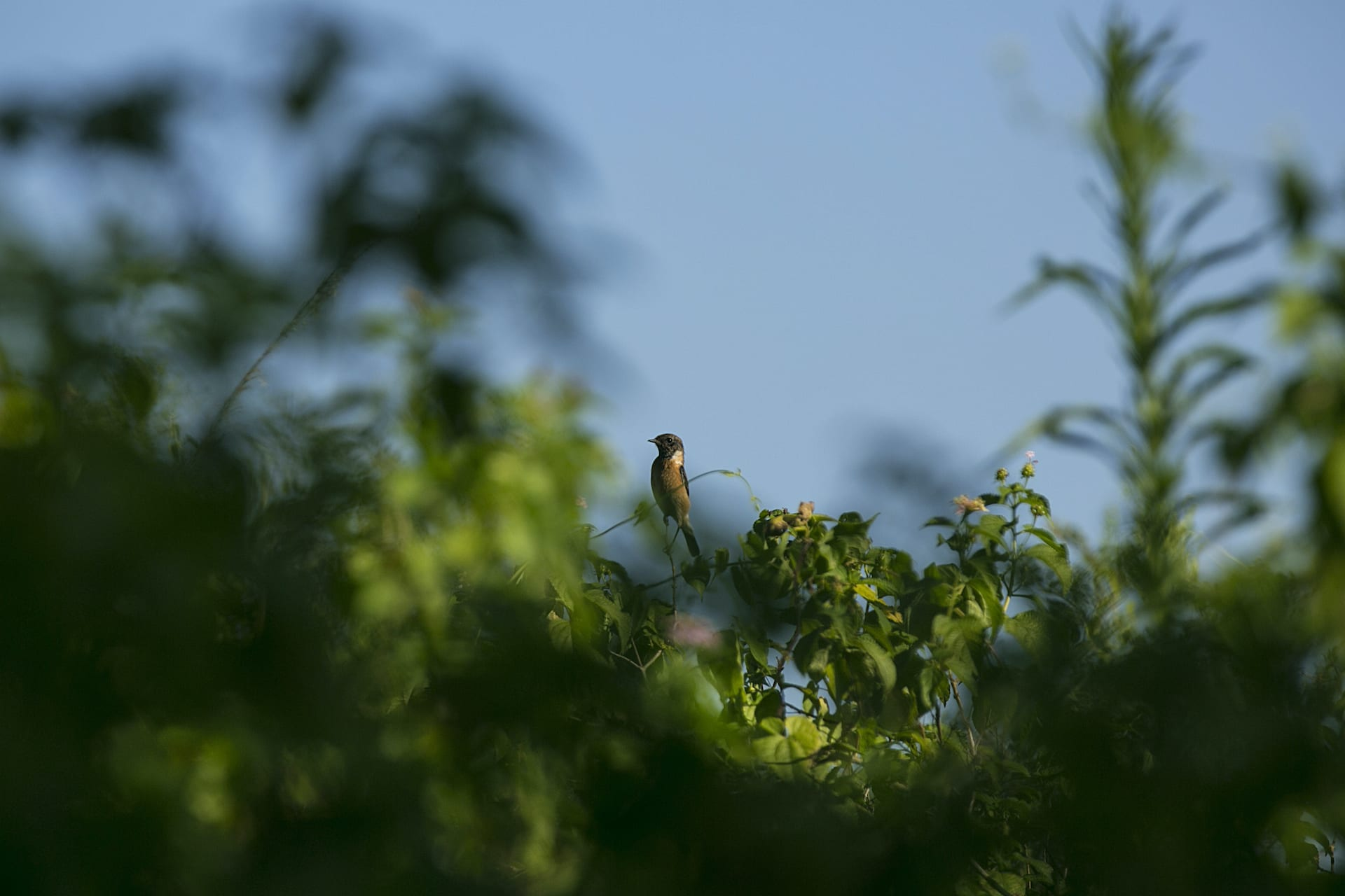 White tailed stonechat