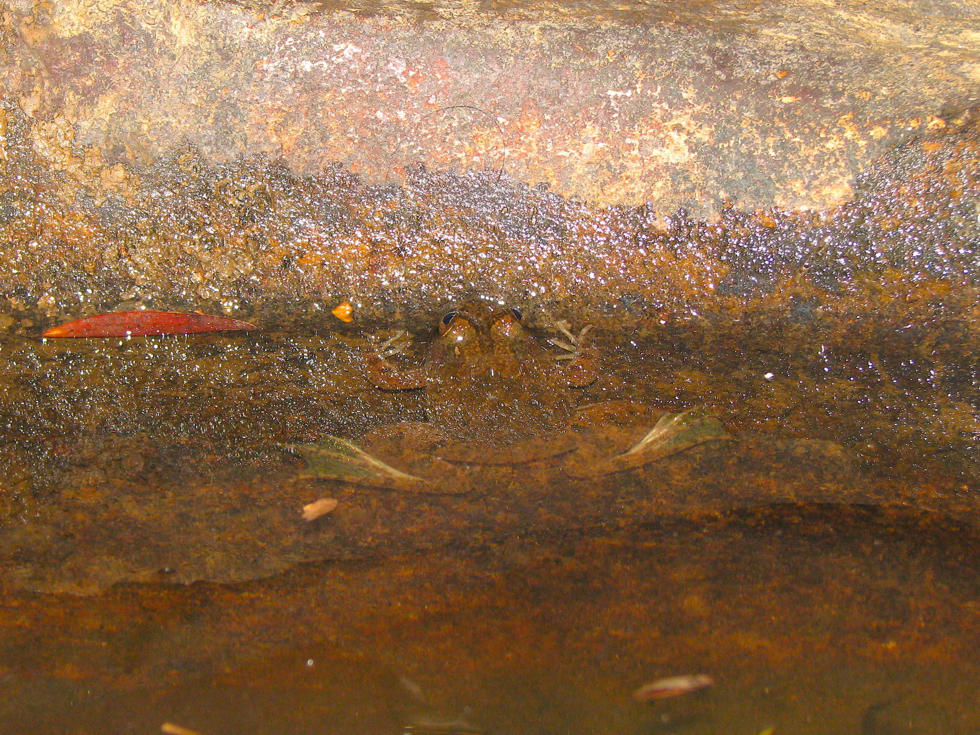 Common skittering frog camouflaging with water and rock