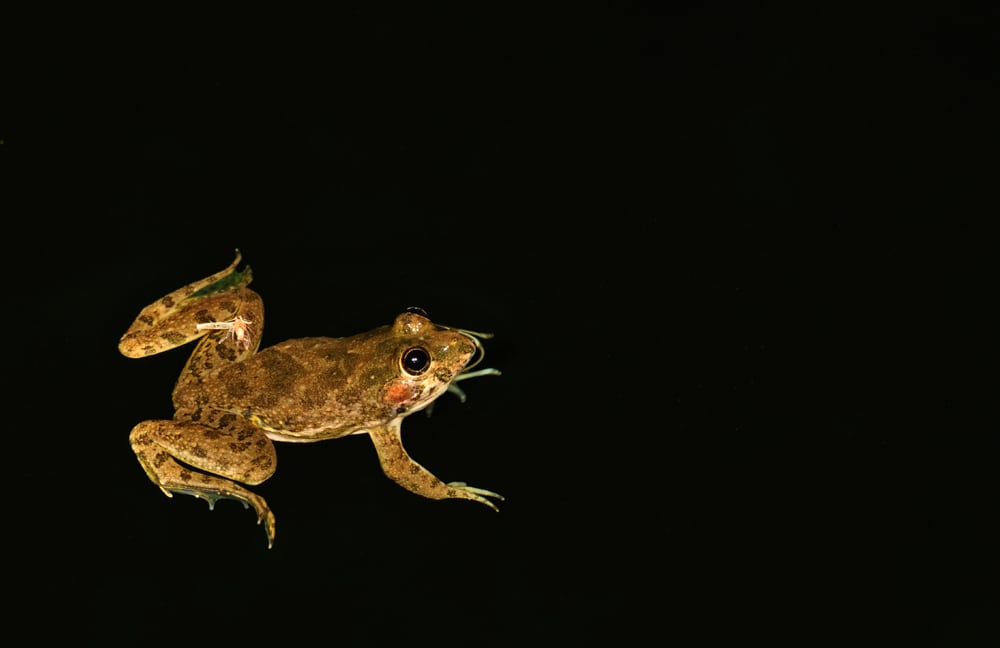 male common skittering frog in water