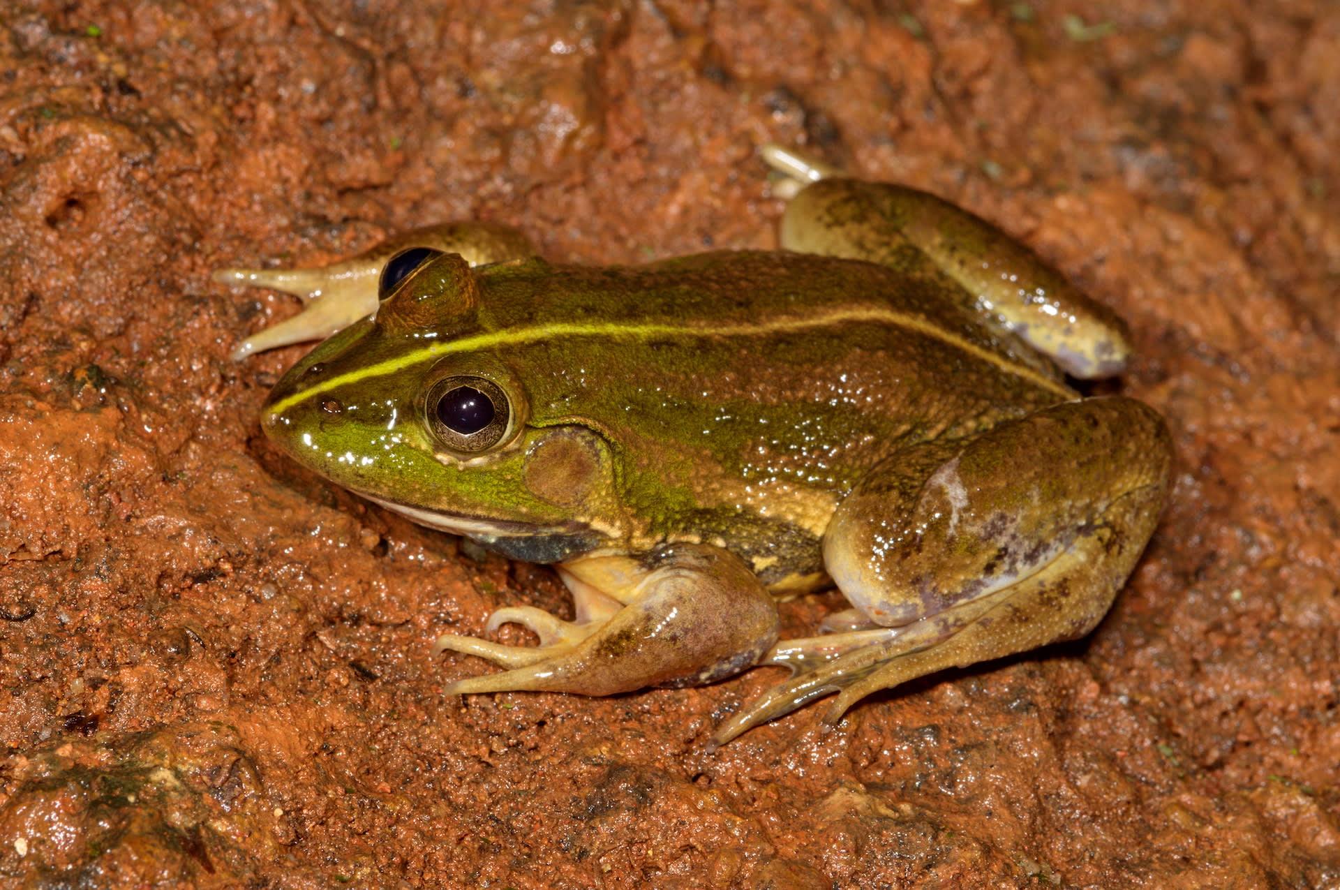 close up of karaavali skittering frog