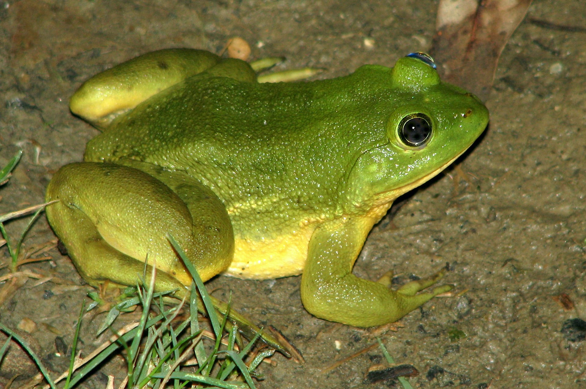 pong frog