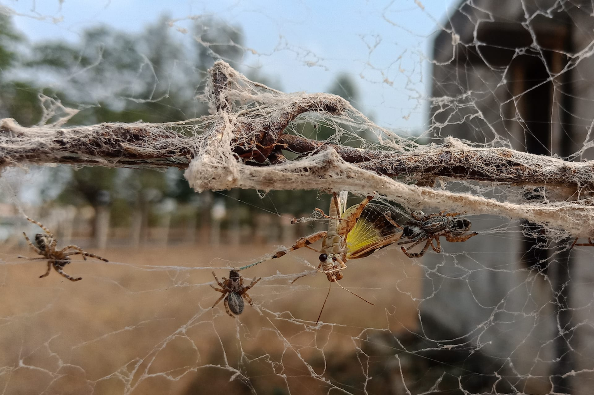 Female social spider S sarasinorum feeding on live grasshopper