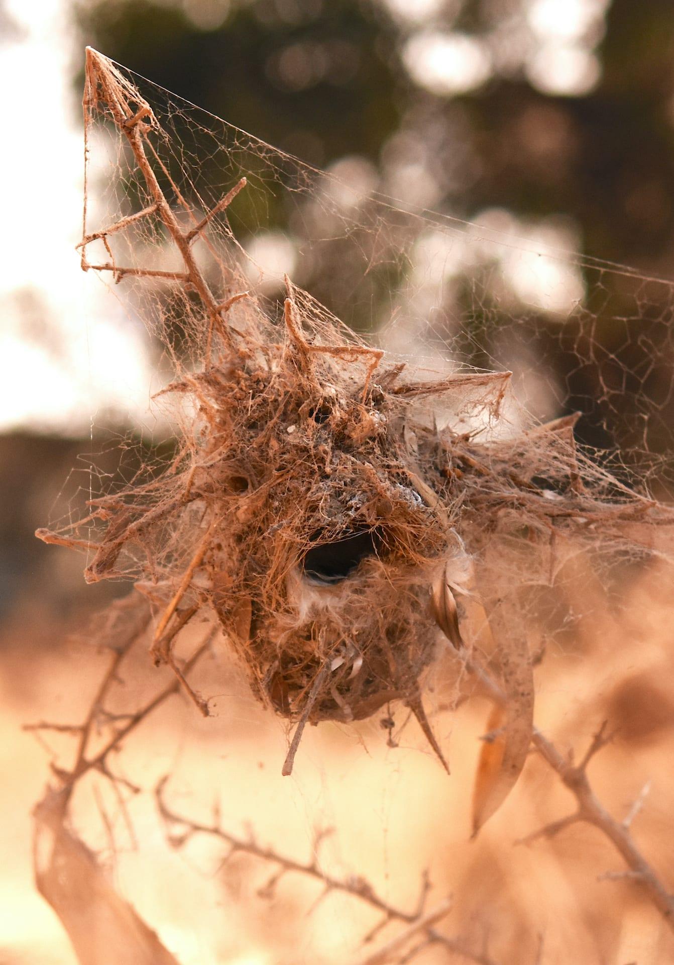 Sunbird nest inside colony of social spiders