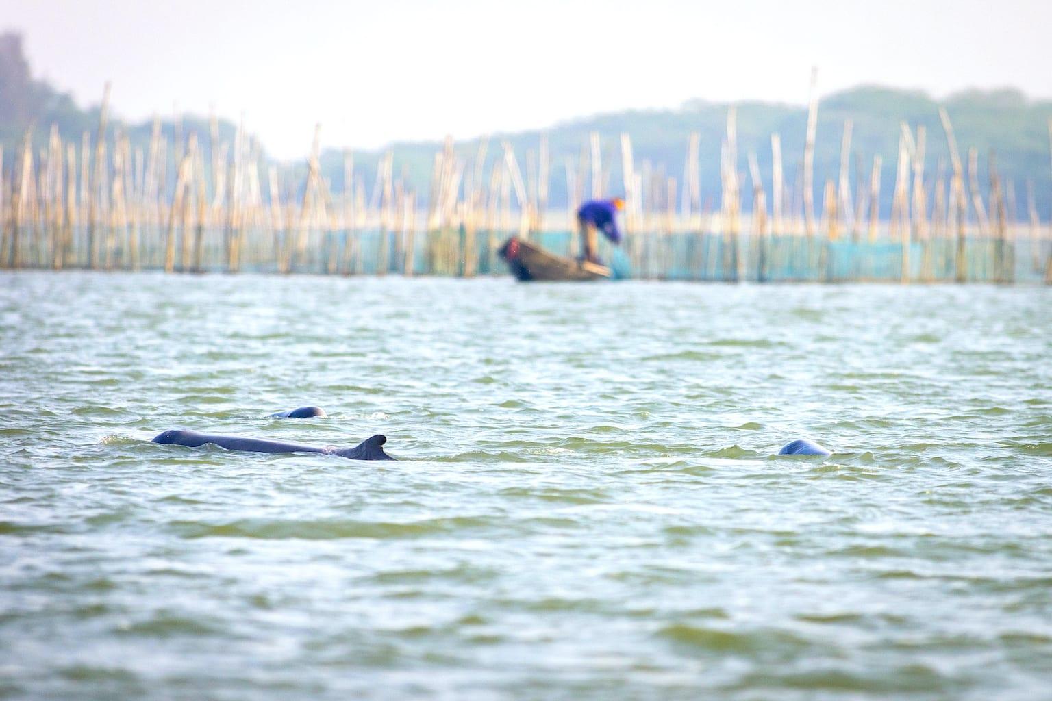 Irrawaddy dolphins and fishermen at Chilika lake