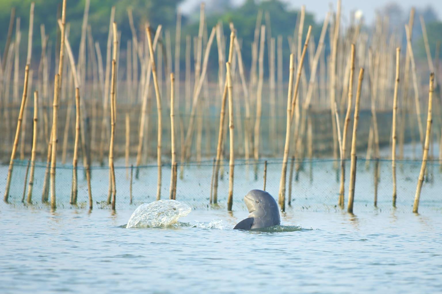 Irrawaddy dolphin at Chilika lake