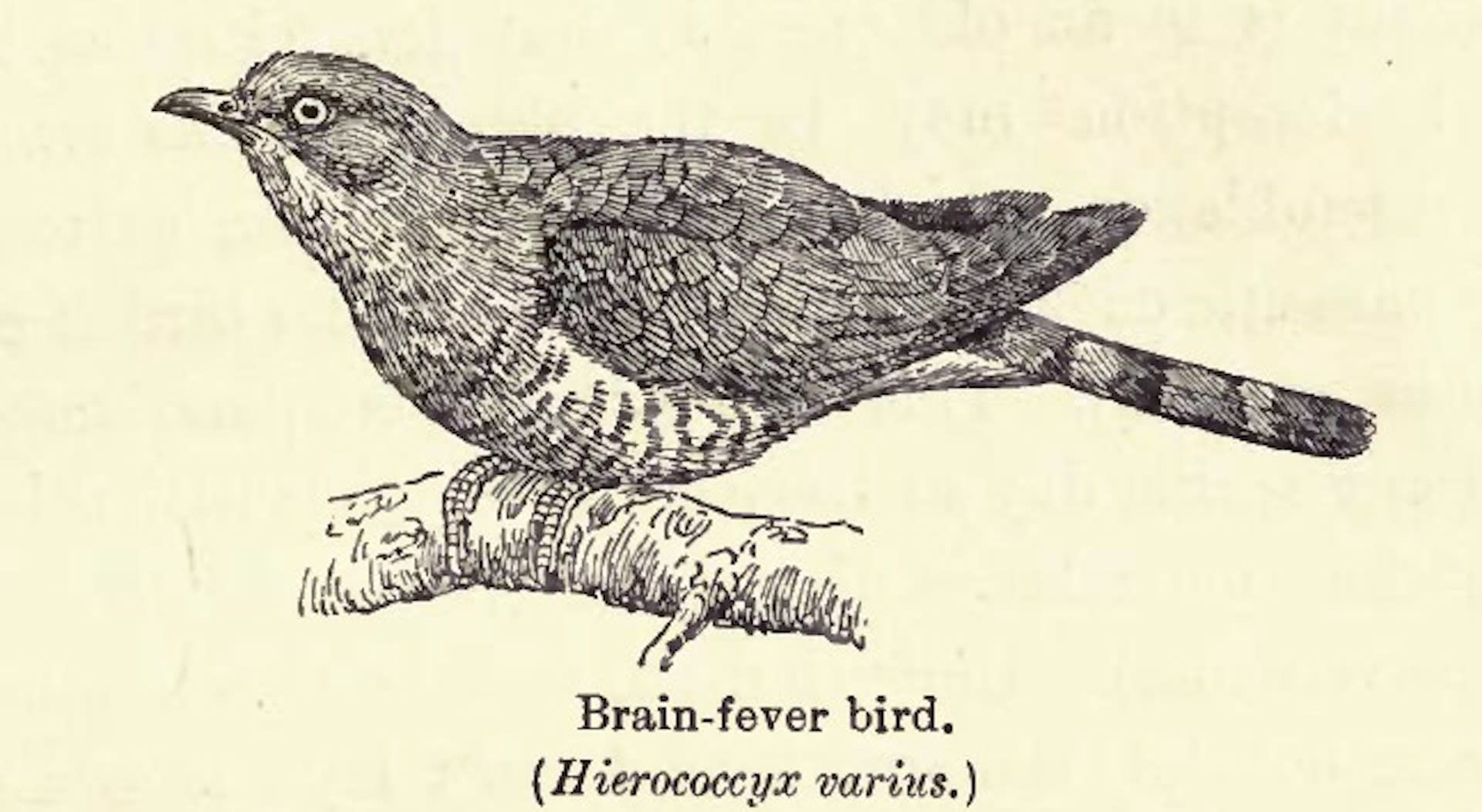 """An illustration of the """"brainfever bird"""" from the book Birds of Calcutta (1917) in which British ornithologist Frank Finn writes about its call: """"an equally worthy rendering of the performance...is """"O lor'! O lor'! How very hot it's getting - I feel it, I feel it!"""""""