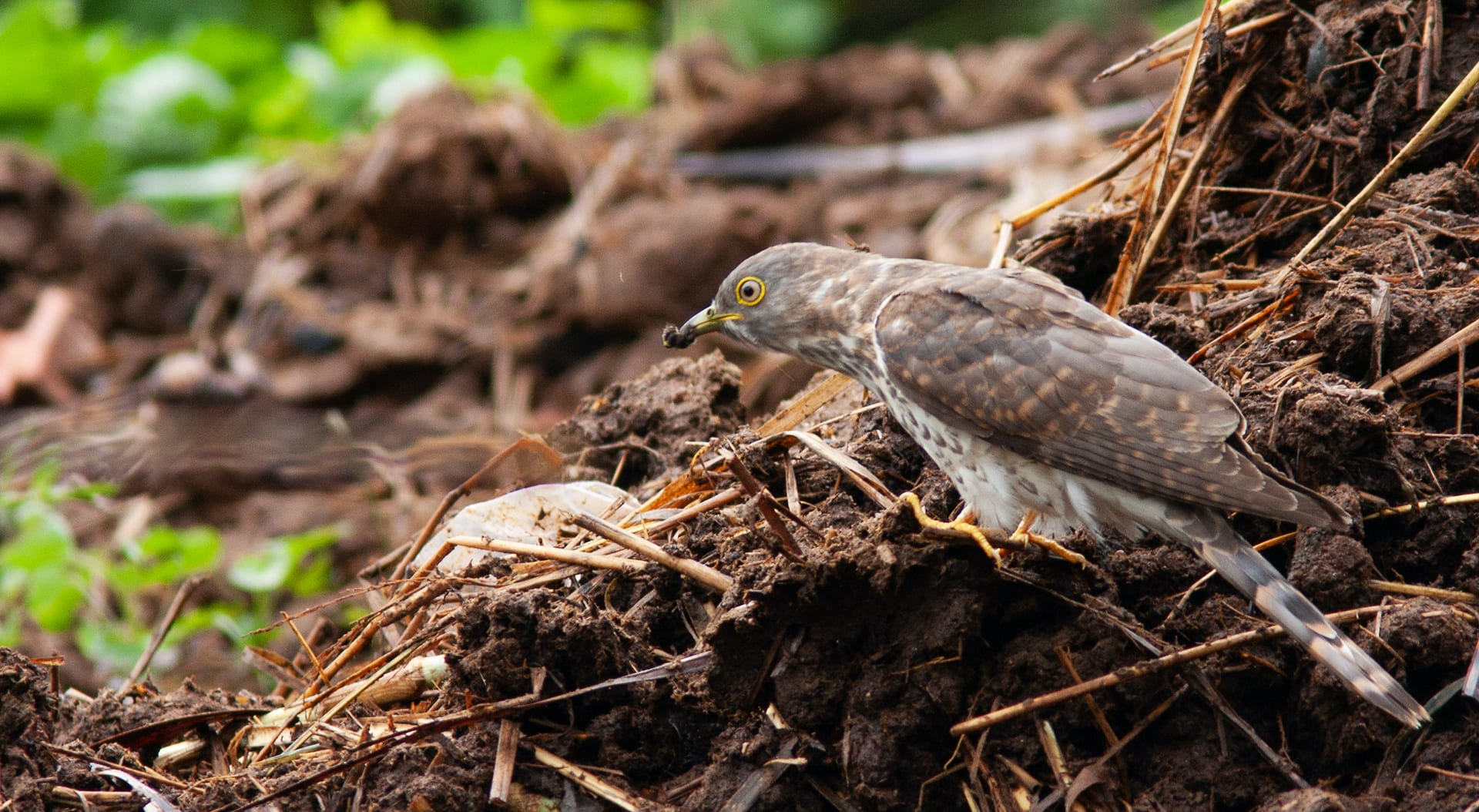 The common hawk-cuckoo feeds on insects, especially hairy caterpillars.