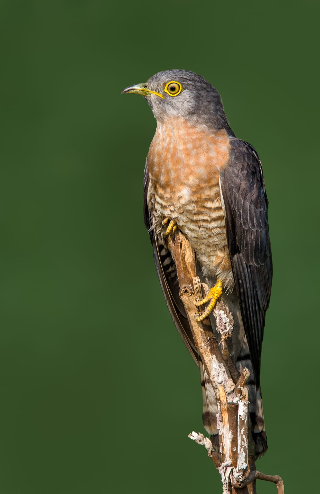 The common hawk-cuckoo's plumage resembles that of the shikra (right), a bird of prey.