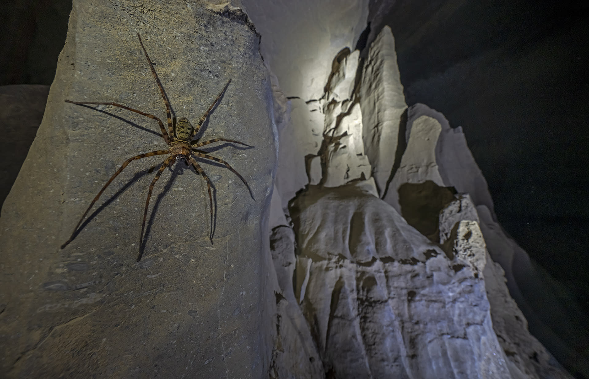Giant hunstman spider in a cave near Lumsnang in Meghalaya