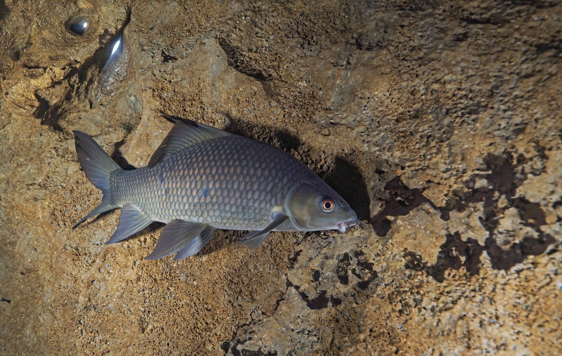 orangefin labeo fish in a cave in meghalaya