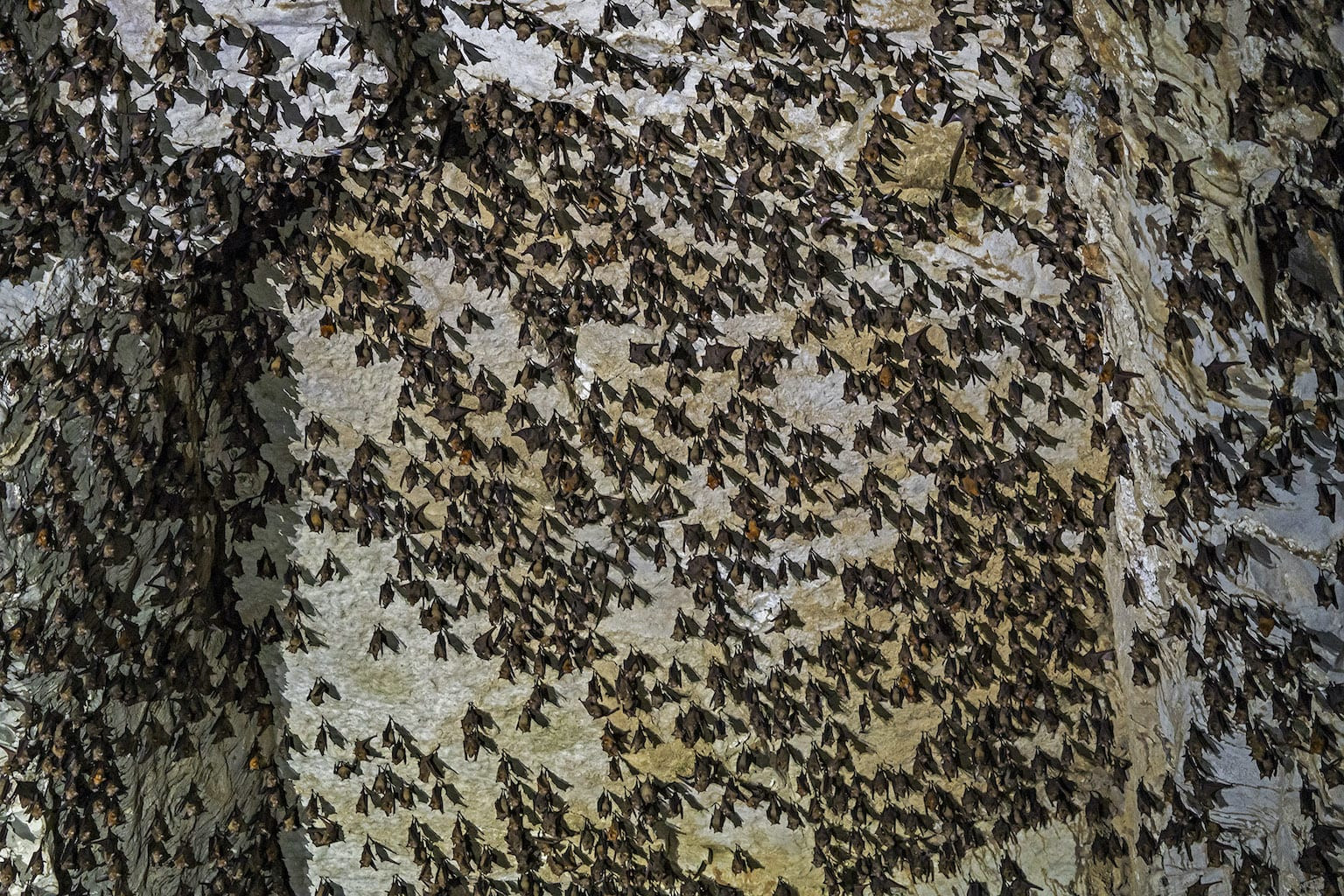 Colony of bats in the Meghalyan river cave Krem Chympe
