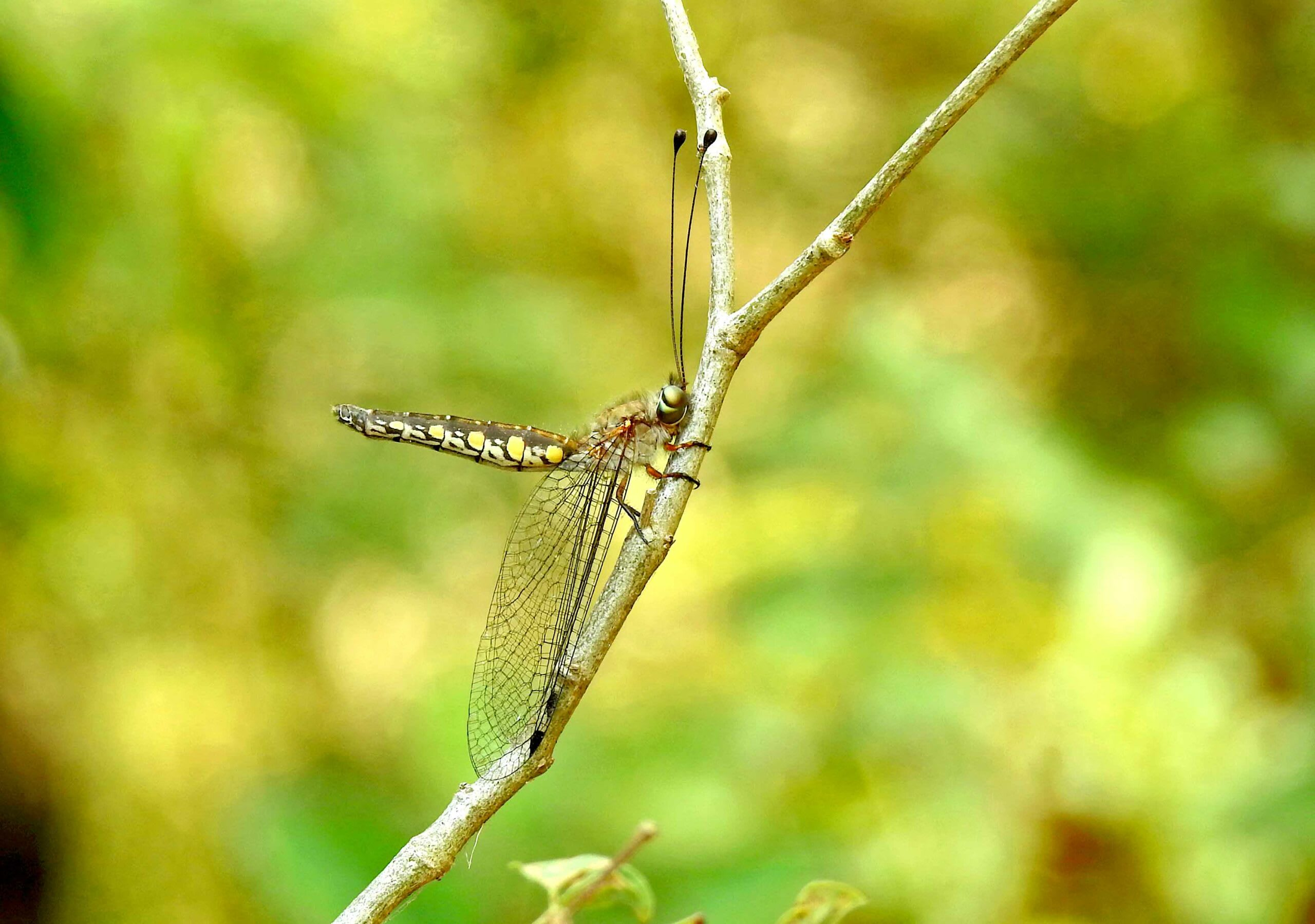 The owlfly belong to the insect order Neuroptera and resemble odonates superficially. However, they have long antennae and holometabolous (complete) metamorphosis with terrestrial larvae. Odonates have what is known as hemimetabolous (incomplete) metamorphosis, where there is no pupal stage, and their larvae are aquatic