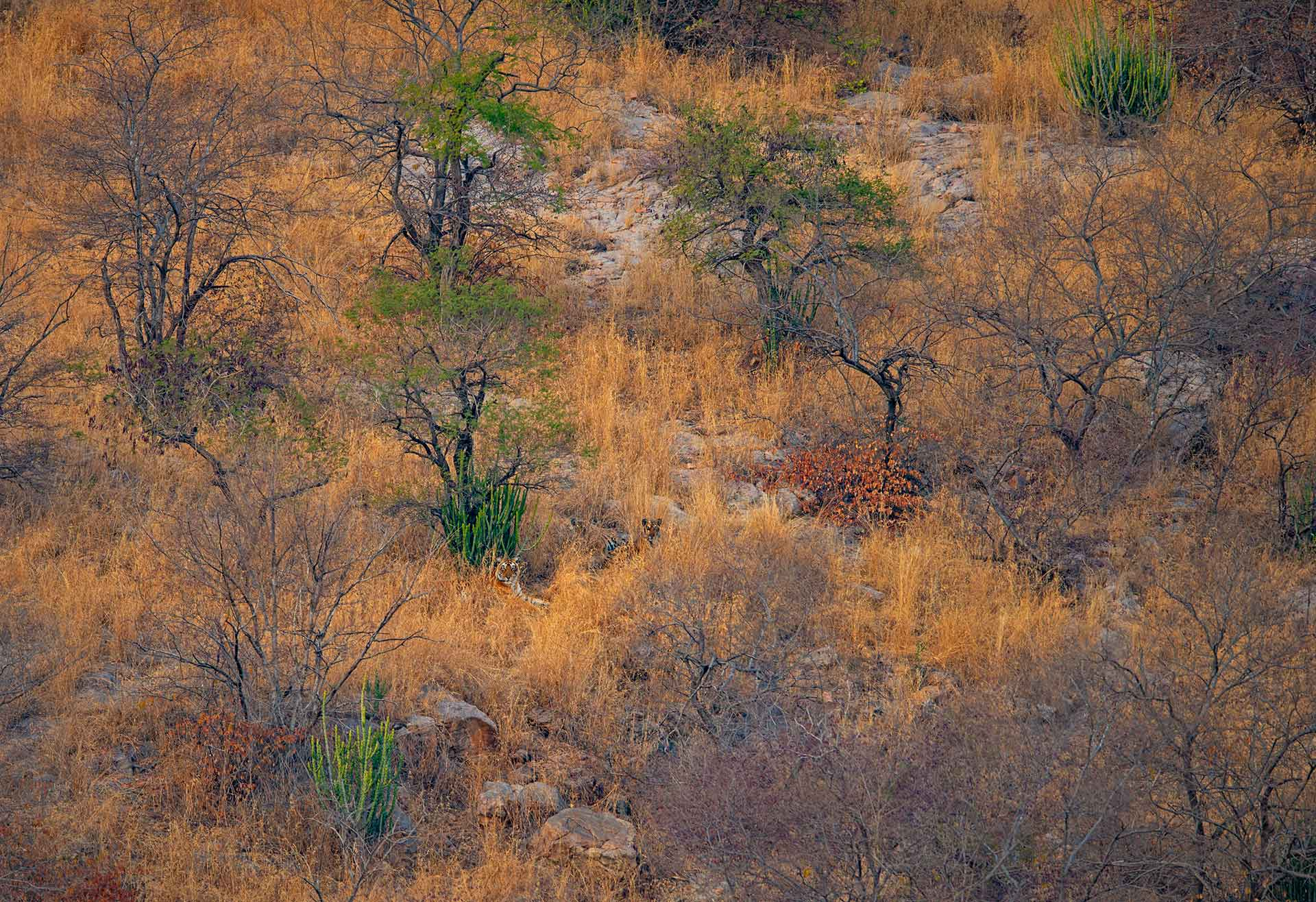 Ranthambore's landscape changes with the seasons. In summer, its palette is dominated by yellow, orange, brown, and black — perfect camouflage for tigers (Panthera tigris) that stalk these grounds. Try and spot the tigers hidden in this image.  In the latter half of the year, when the rains arrive, the waterbodies in Ranthambore fill up, attracting a bevy of migratory birds, including ducks, waders, raptors, and locally migratory species such as the painted storks, flamingos, and sarus cranes. Photo: Dhritiman Mukherjee