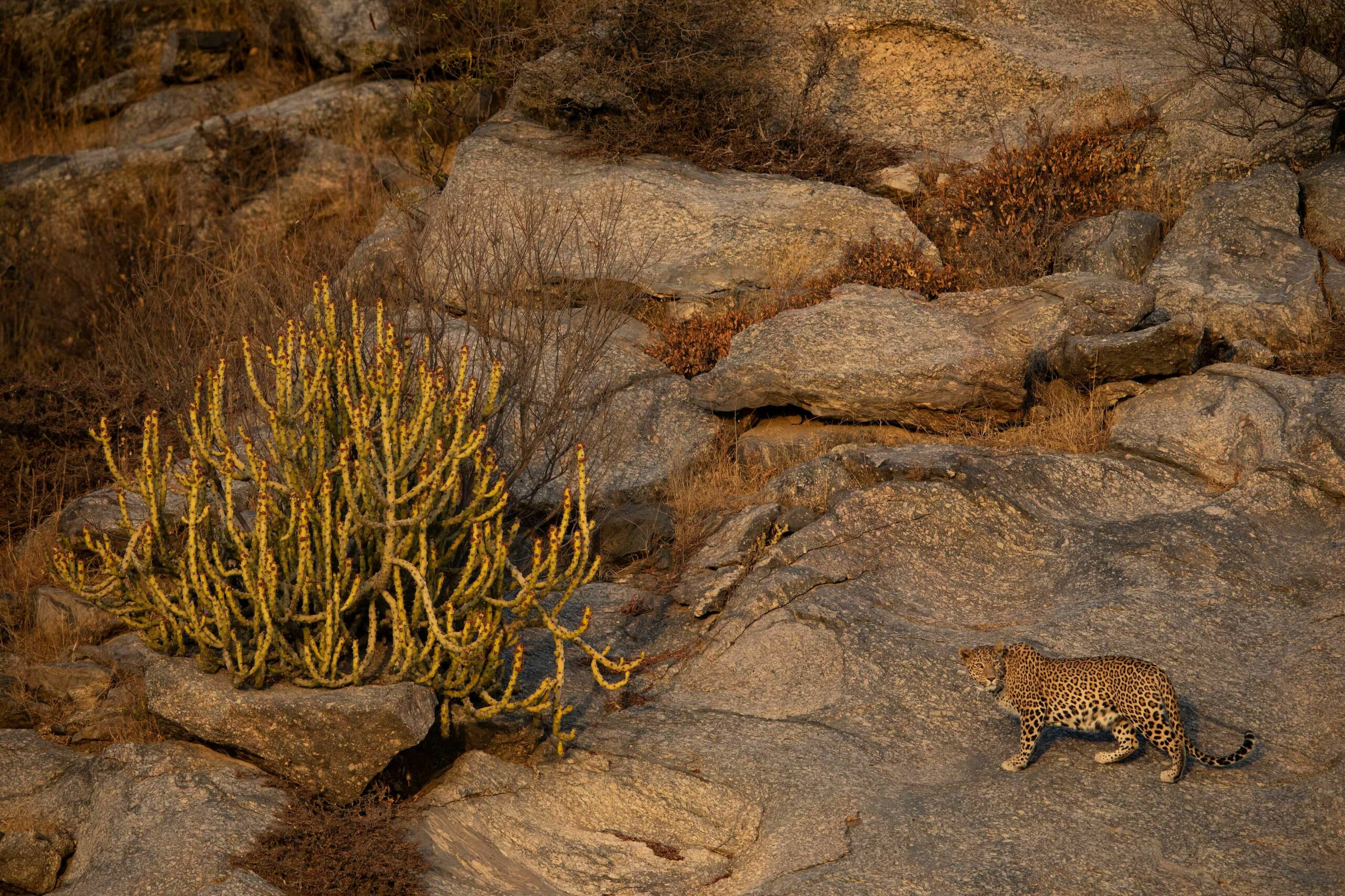 The rockier parts of the Aravallis are ideal for leopards, but spotting one is difficult unless you are in Jawai Bandh aka Leopard Country. What makes the big cats in this part of Rajasthan so special is that they allow themselves to be seen frequently — from hilltops to near village temples —  a rare phenomenon for a predator that lives largely in stealth mode. Photo: Shivang Mehta