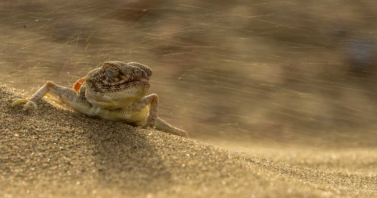 Among the smaller residents of the Thar is the toad-headed lizard (Bufoniceps laungwalaensis), an endemic species that camouflages perfectly against the sand. These lizards are one of several reptiles that inhabit the desert ecosystem. Other species include skinks, scorpions, sand snakes, and sand boas. Photo: Pallavi Laveti