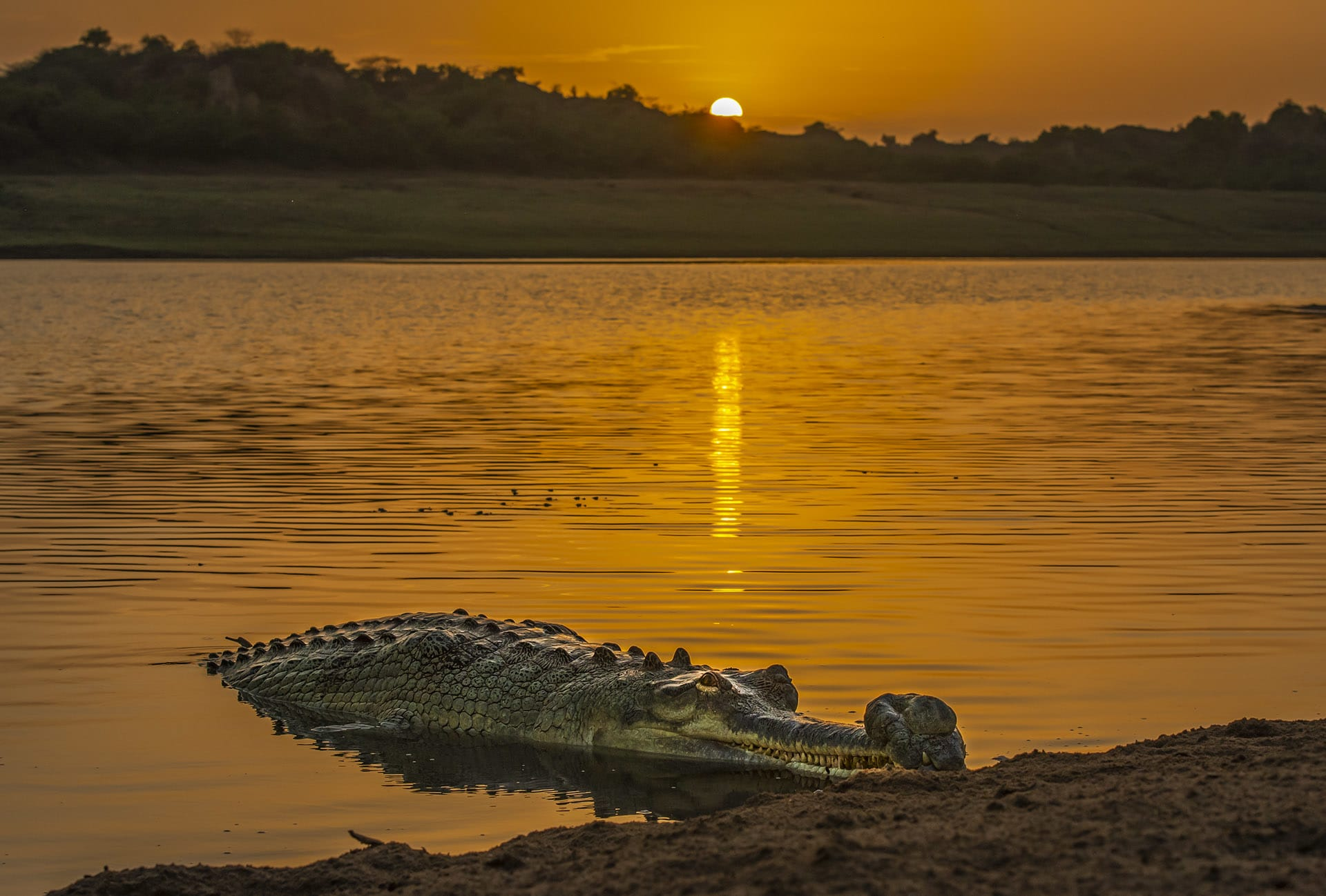 """The star of National Chambal Sanctuary is the gharial, a cousin of the crocodile, named for the """"ghara"""" or pot on the snout of adult males. Gharials (Gavialis gangeticus) inspire fear among many people, but they are strictly fish-eating animals. Their numbers were once abundant along the rivers of northern India, but habitat degradation has led to a steep decline in their population. The IUCN Red List categorises gharials as critically endangered. Photo: Dhritiman Mukherjee"""