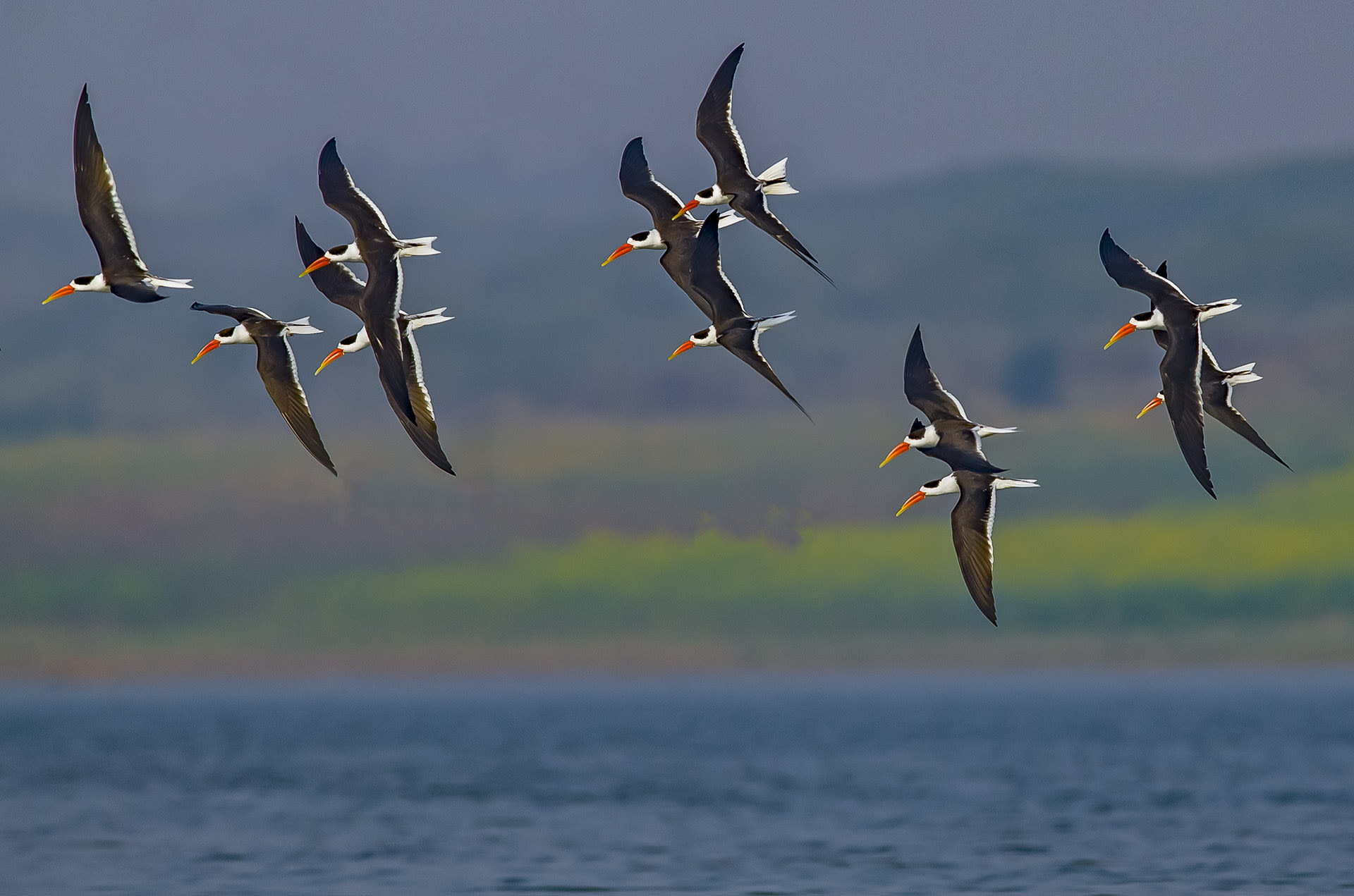 The Chambal riverscape is far from the Rajasthan of popular imagination. Instead of dunes and dust, this habitat has perennial freshwater, riverbanks blanketed with green, and a diversity of water-loving birds such as these Indian skimmers (Rynchops albicollis). Fed primarily by the Chambal River, this riverscape continues downstream into the famous National Chambal Sanctuary (in Madhya Pradesh) which is the abode of the critically endangered gharials. Photo: Dhritiman Mukherjee