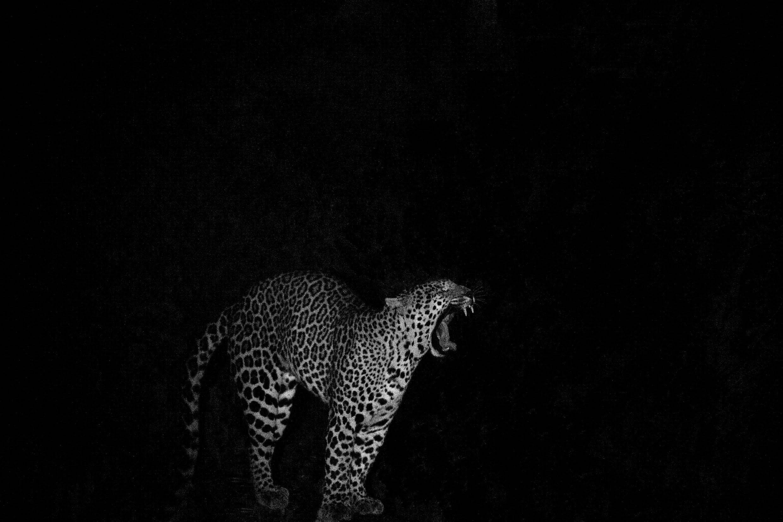 Leopard yawning at night