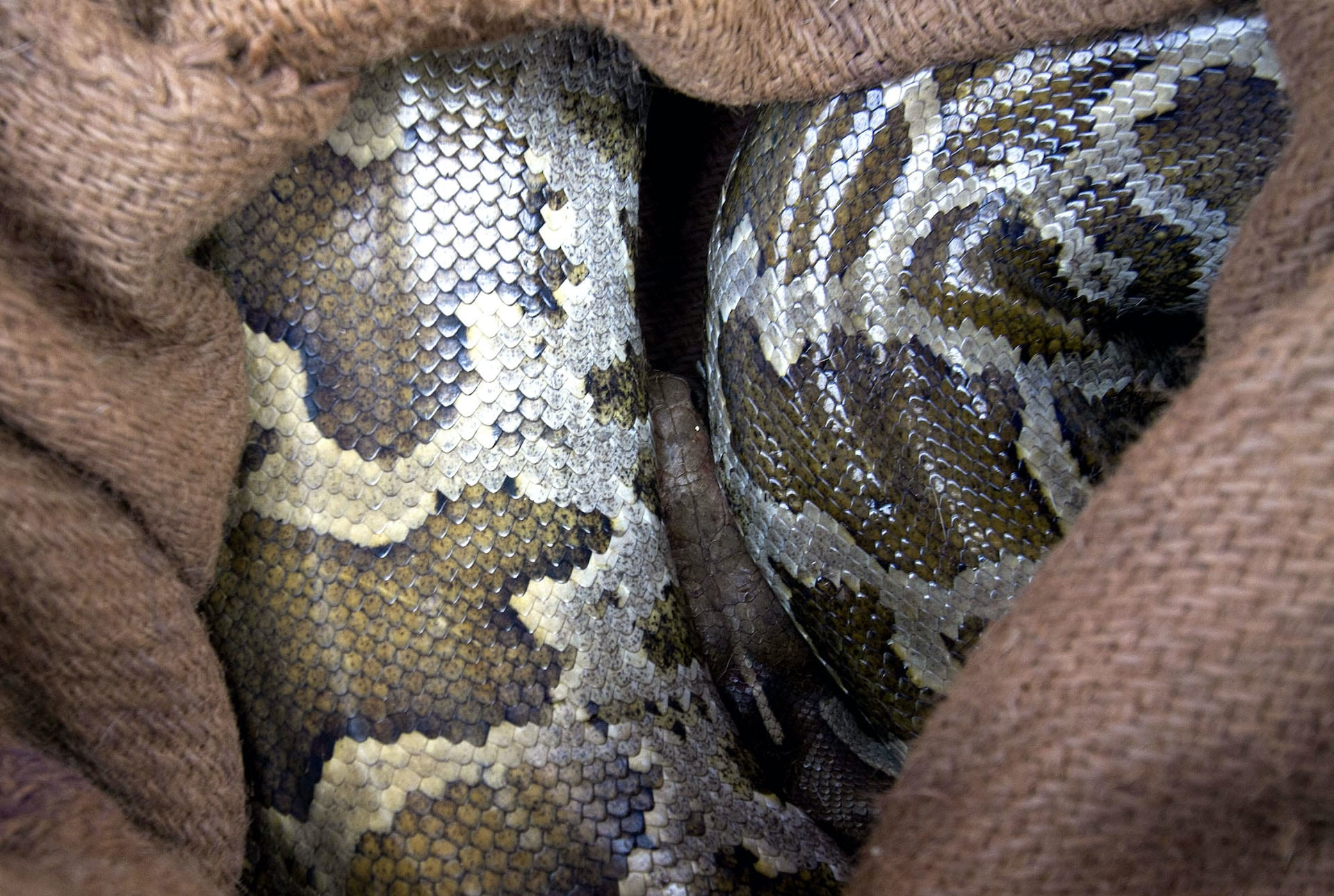 indian-rock-python-rescue-in-sac