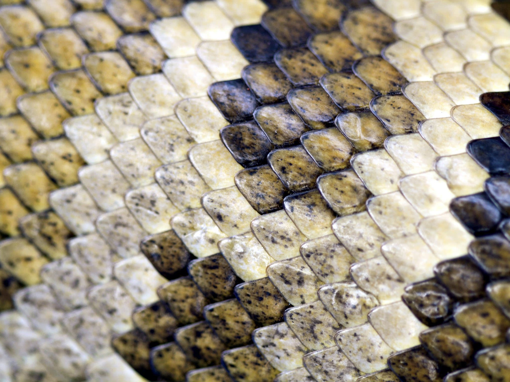 indian-rock-python-scales-close-up