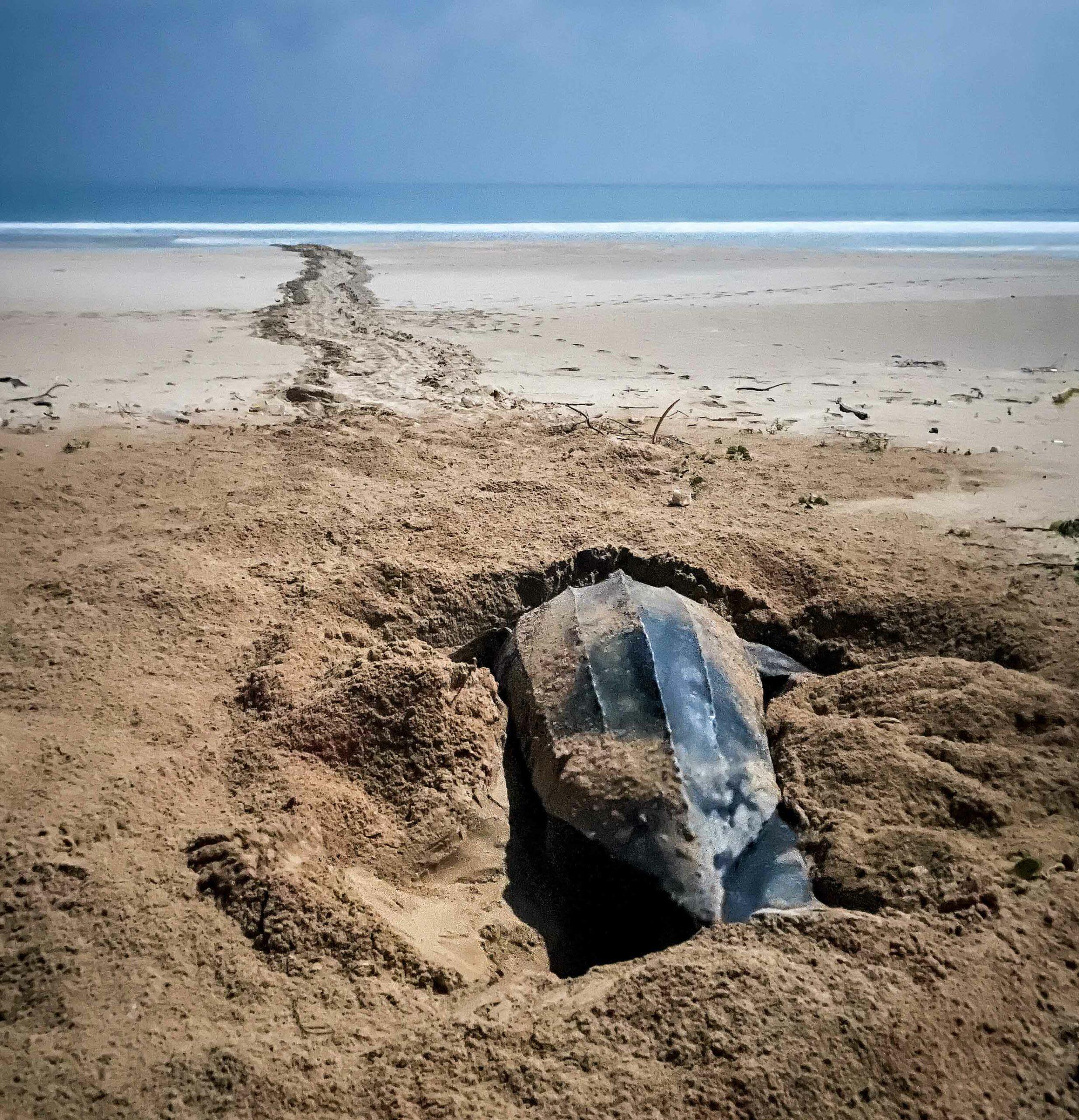 Leatherback turtle digging sand
