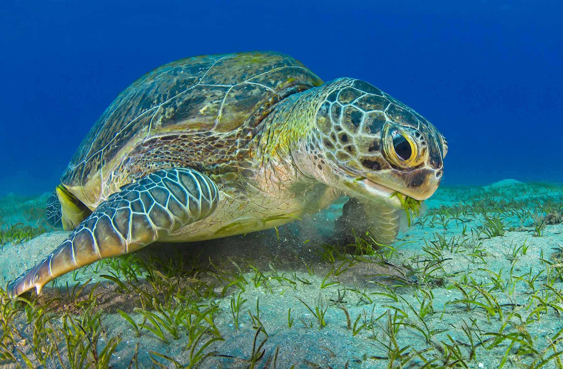 green turtle swimming and chewing sea grass