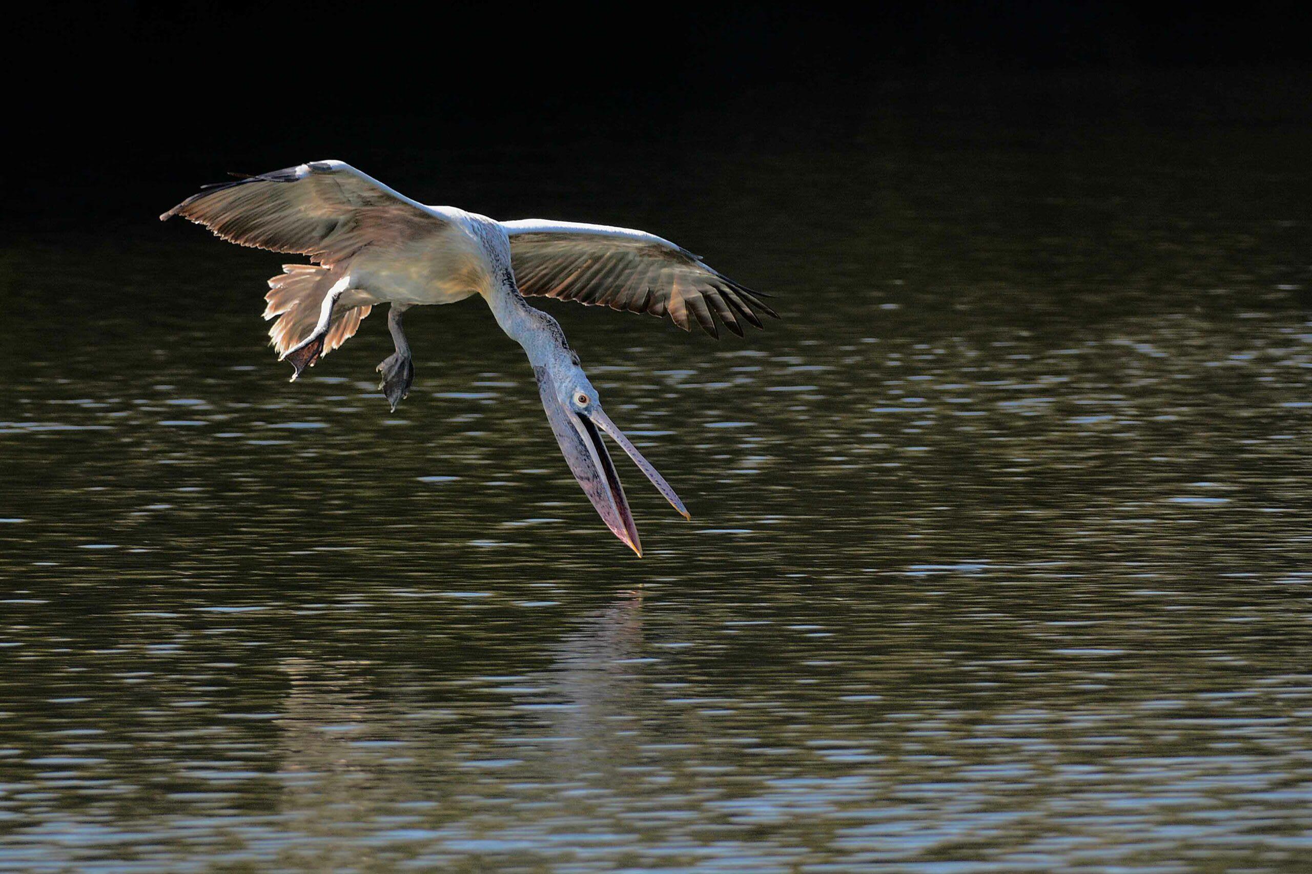 Spot-billed pelican hunting