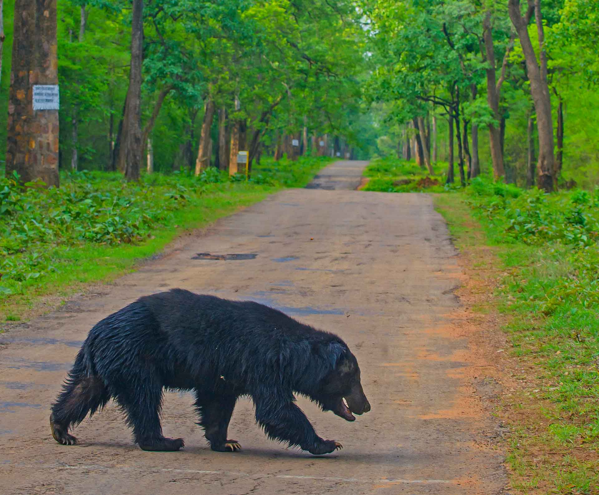 """Sloth bears have many physiological adaptations that are suited to eating insects. They have a strong sense of smell, long claws to dig, and the ability to close their nostrils, to ensure insects do not enter their nasal passages when they eat. In addition, they don't have front teeth, an adaptation that helps them consume insects with greater ease. """"Without front teeth getting in the way, they can suck up termites like a vacuum!"""" says the website of Wildlife SOS, an organisation that has been working with sloth bears for many years now."""