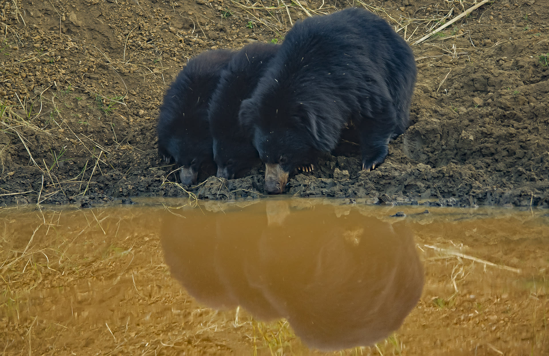 """Studies by Wildlife SOS also indicate that sloth bears occasionally share caves or dens with porcupines, rusty-spotted cats, jungle cats, mongoose, wild boar, snake species, and monitor lizards. """"Once sloth bear mothers enter a den to give birth, they will not come back out for food or water for three to eight weeks,"""" reports the Wildlife SOS website. """"When she first emerges from the den, she does so alone, leaving the cubs in the den, and quickly gets some water and food before returning to her cubs."""""""