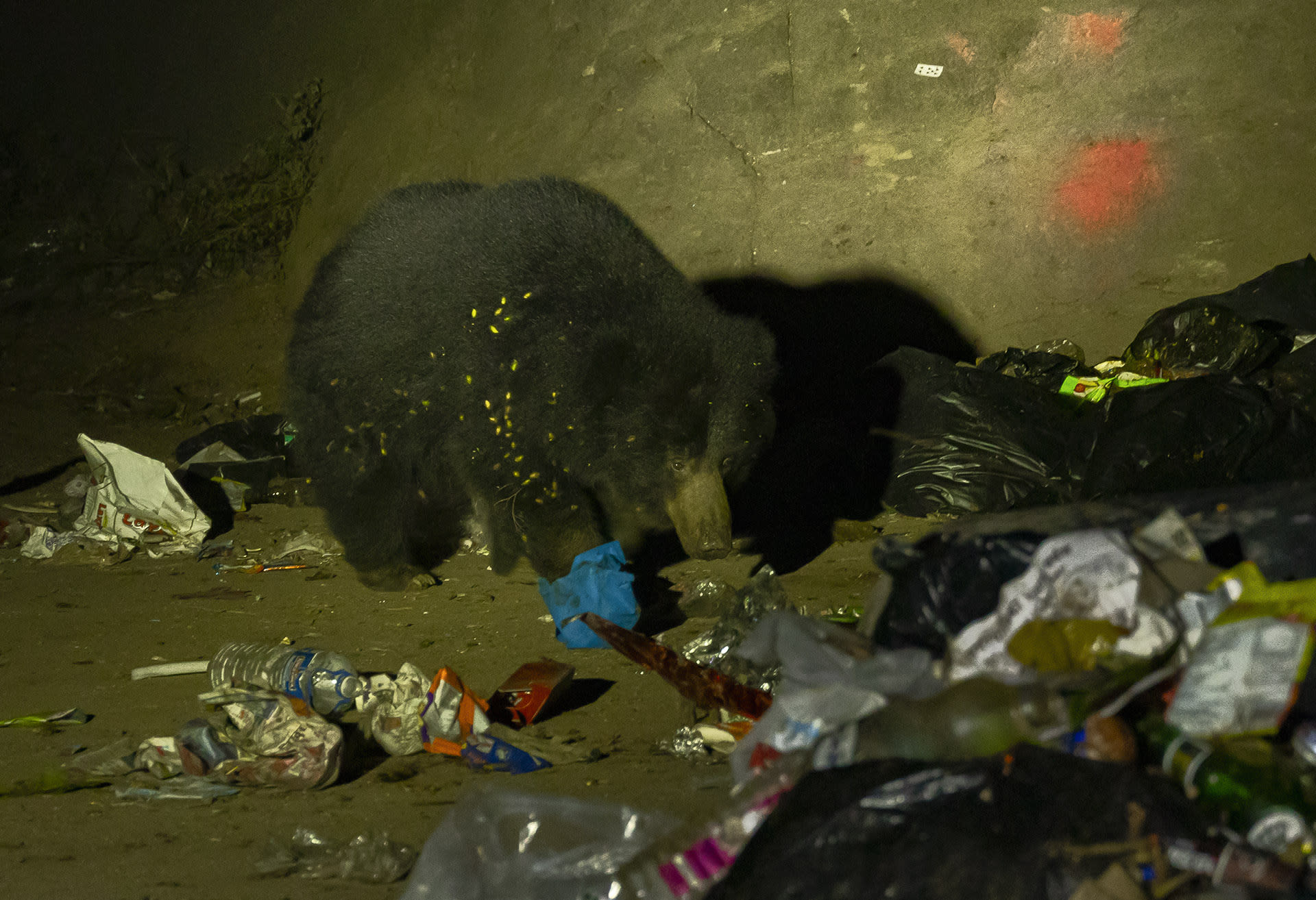 """Near Mt Abu in Rajasthan, sloth bears have been reported around garbage dumps in and around the town. """"During temple season, they follow large groups of religious pilgrims for days and eat their leftovers,"""" says wildlife photographer Dhritiman Mukherjee. Improper disposal of organic waste is another cause for the increase in conflict with wildlife, especially in hill station towns such as Mt Abu, where the boundaries between wild and domestic are porous."""