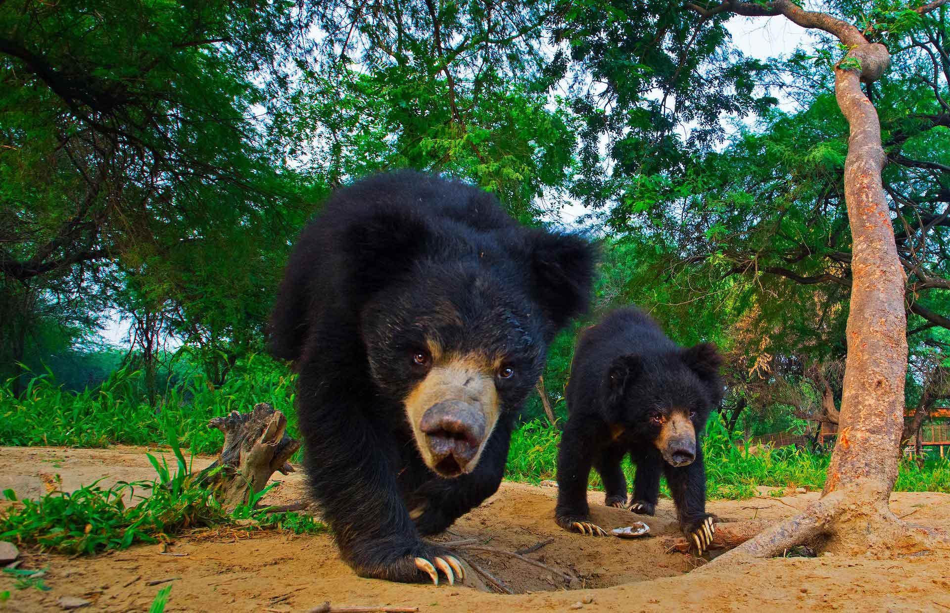 wildlife-sos-rehab-centre-sloth-bear-two-walking-towards-camera