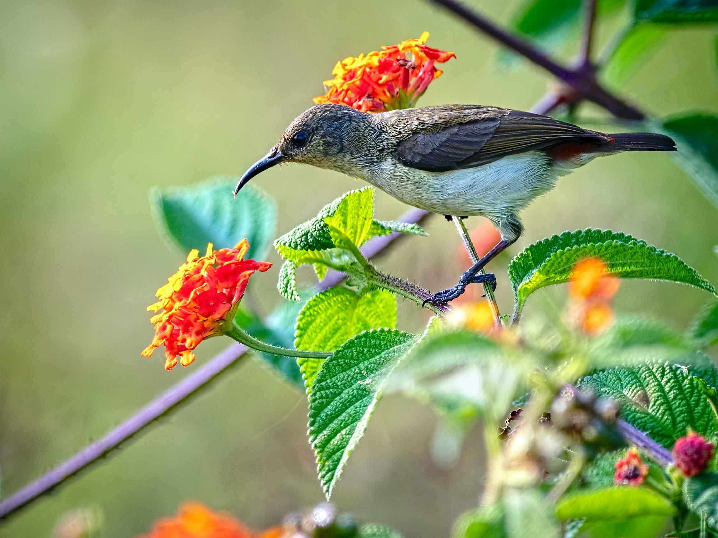 thattekad-kerala-crimson-backed-sunbird-female