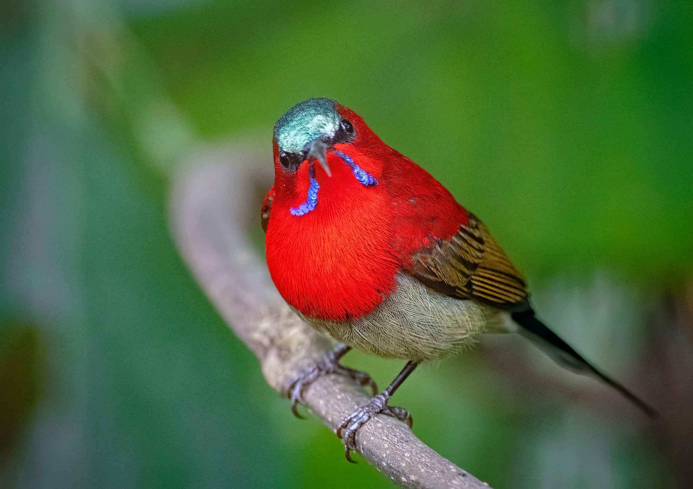 pakke-arunachal-crimson-sunbird