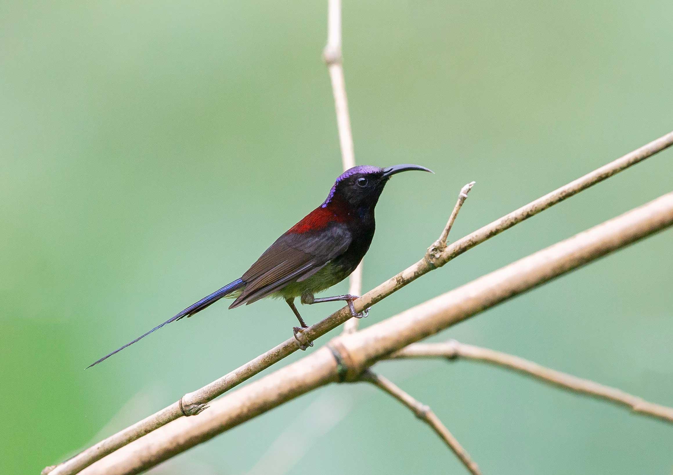 mehao-wls-arunachal-pradesh-black-throated-sunbird
