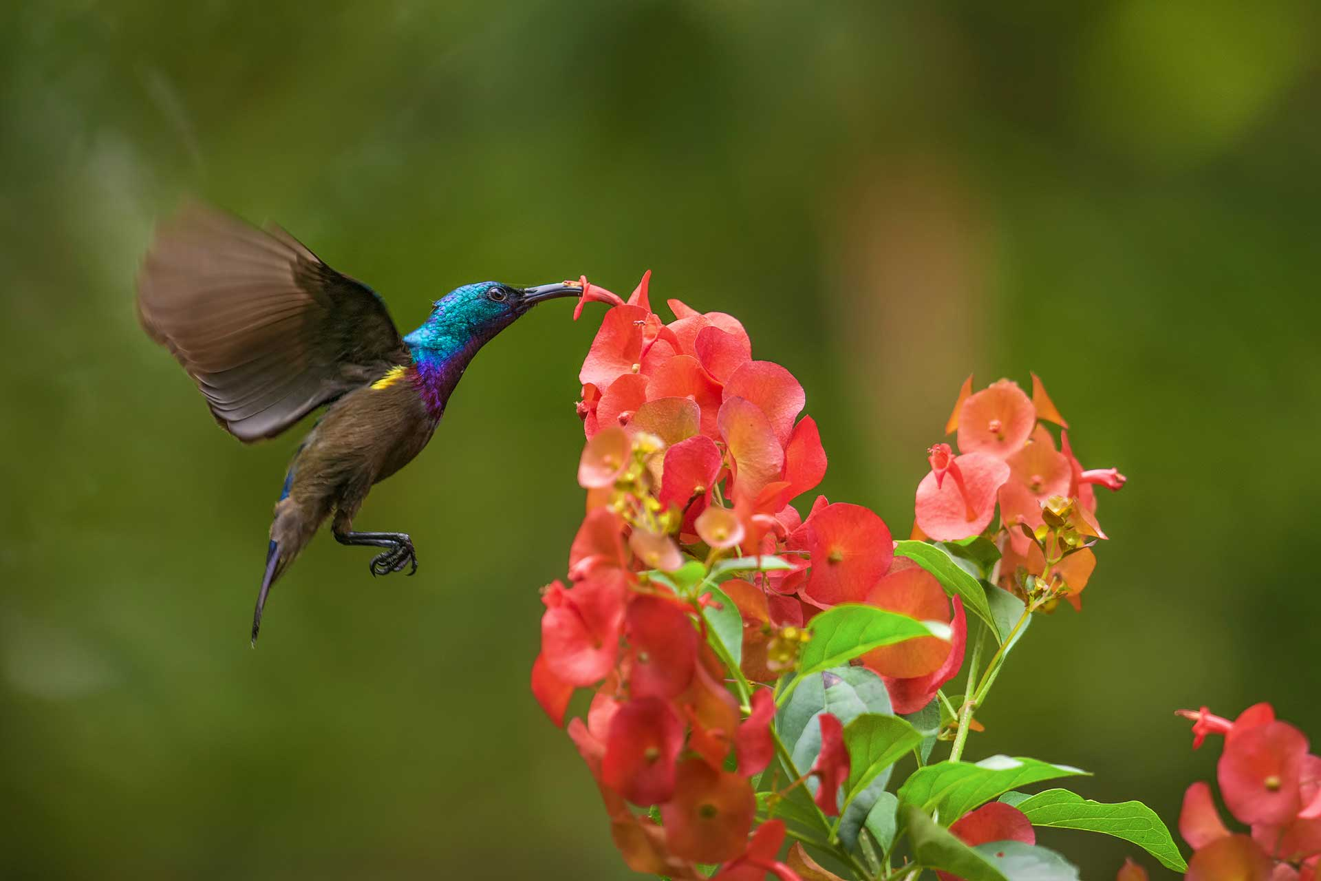 """All sunbirds are swift and skilled fliers, always on the move, like this Loten's sunbird. """"The first thing one notices about sunbirds is their energy levels,"""" says Dalvi. """"They can hover mid-air, which requires incredible amounts of energy, and they can hang upside down while sipping nectar, which is unusual for birds."""" Photo: Soumabrata Moulick"""