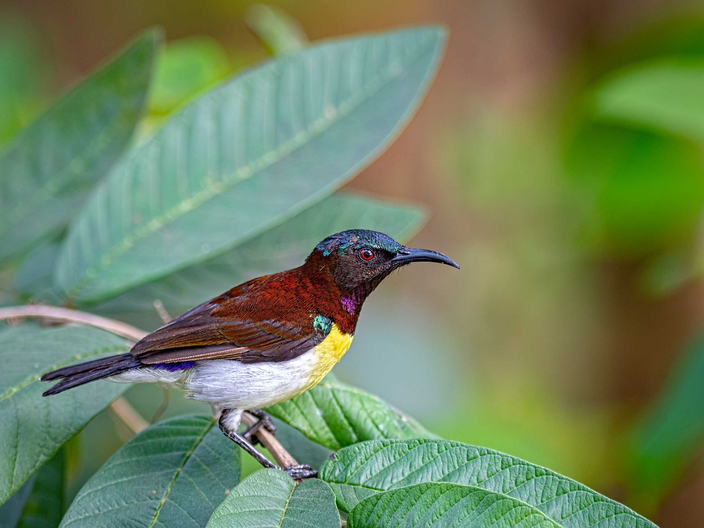 agartala-tripura-purple-rumped-sunbird