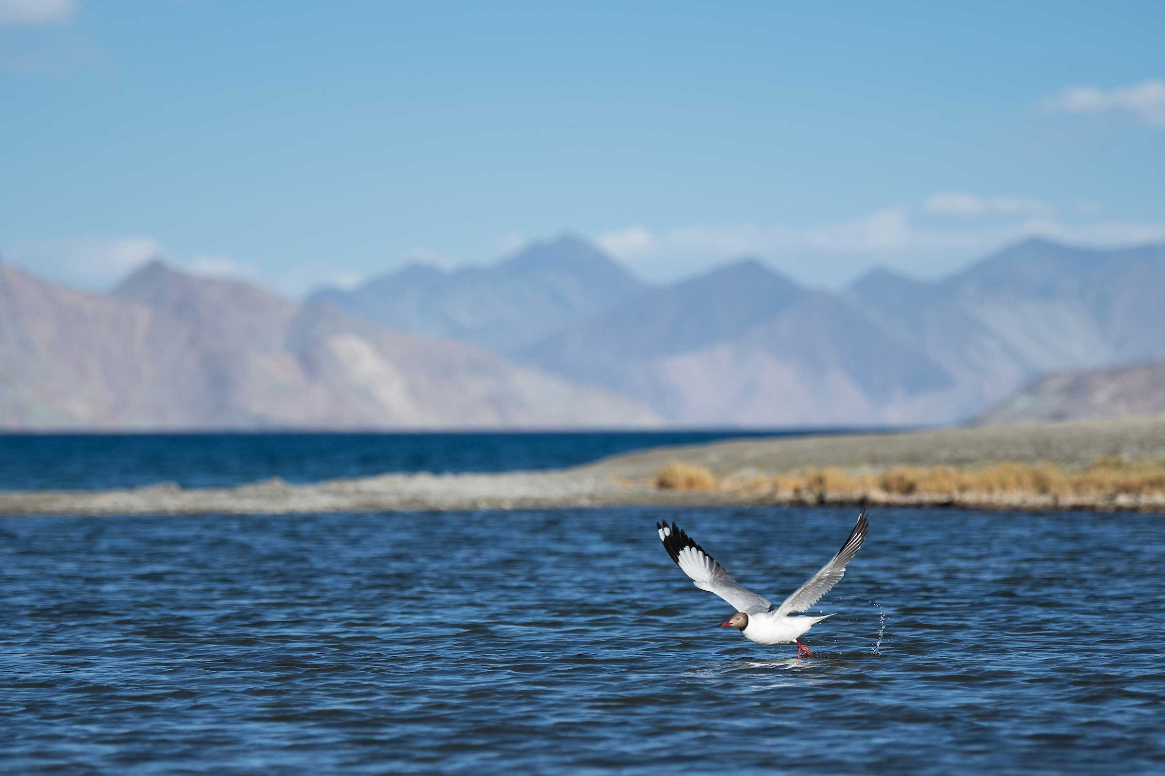 """A brown-headed gull flies low over the Pangong lake in Ladakh. Some populations of the brown-headed gull breed in Ladakh during summer before flying southwards in winter. """"They are quite common here and can be seen frequently near the lakeshore. Though they are not addicted to junk food like their counterparts in other parts of the country, they do accept food from tourists on occasion,"""" said Shreeram MV. Photo: Shreeram MV"""