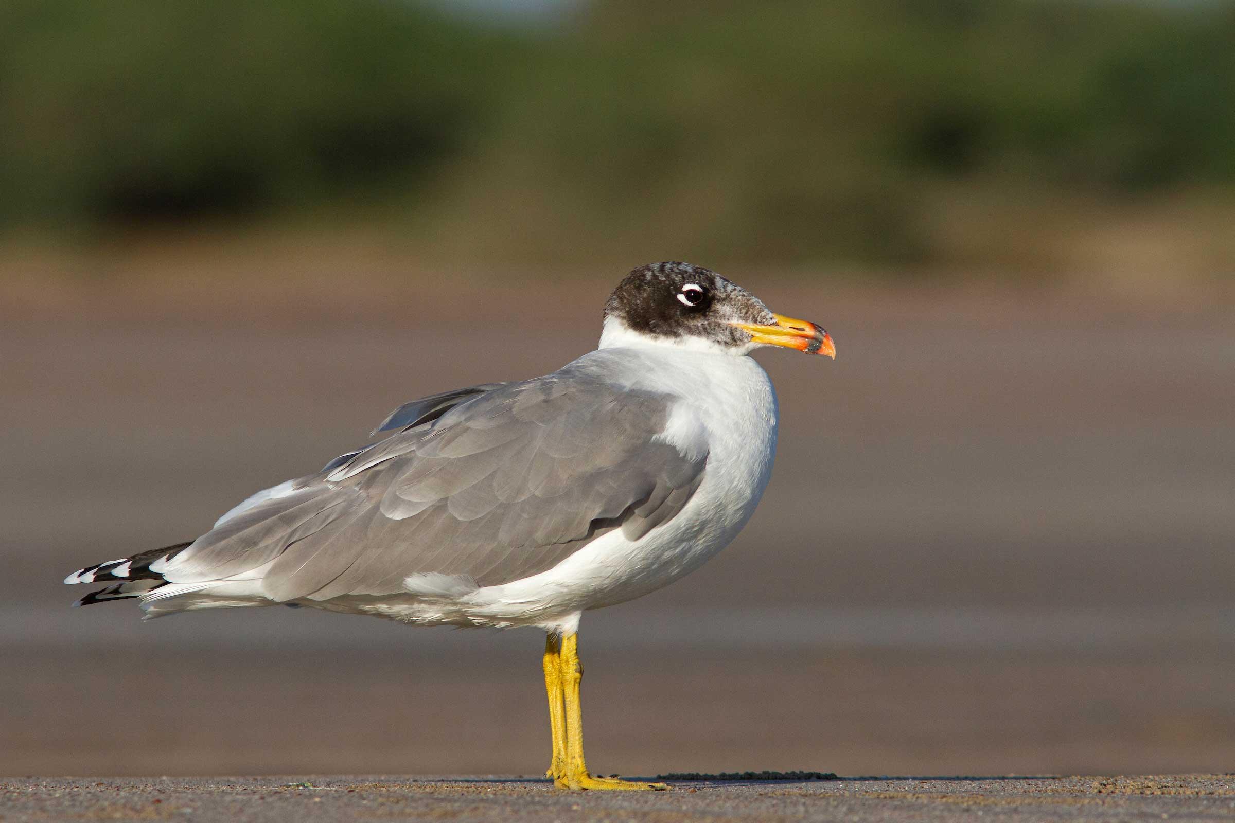 gulf-of-kutch-modwa-pallas-gull-solo-standing