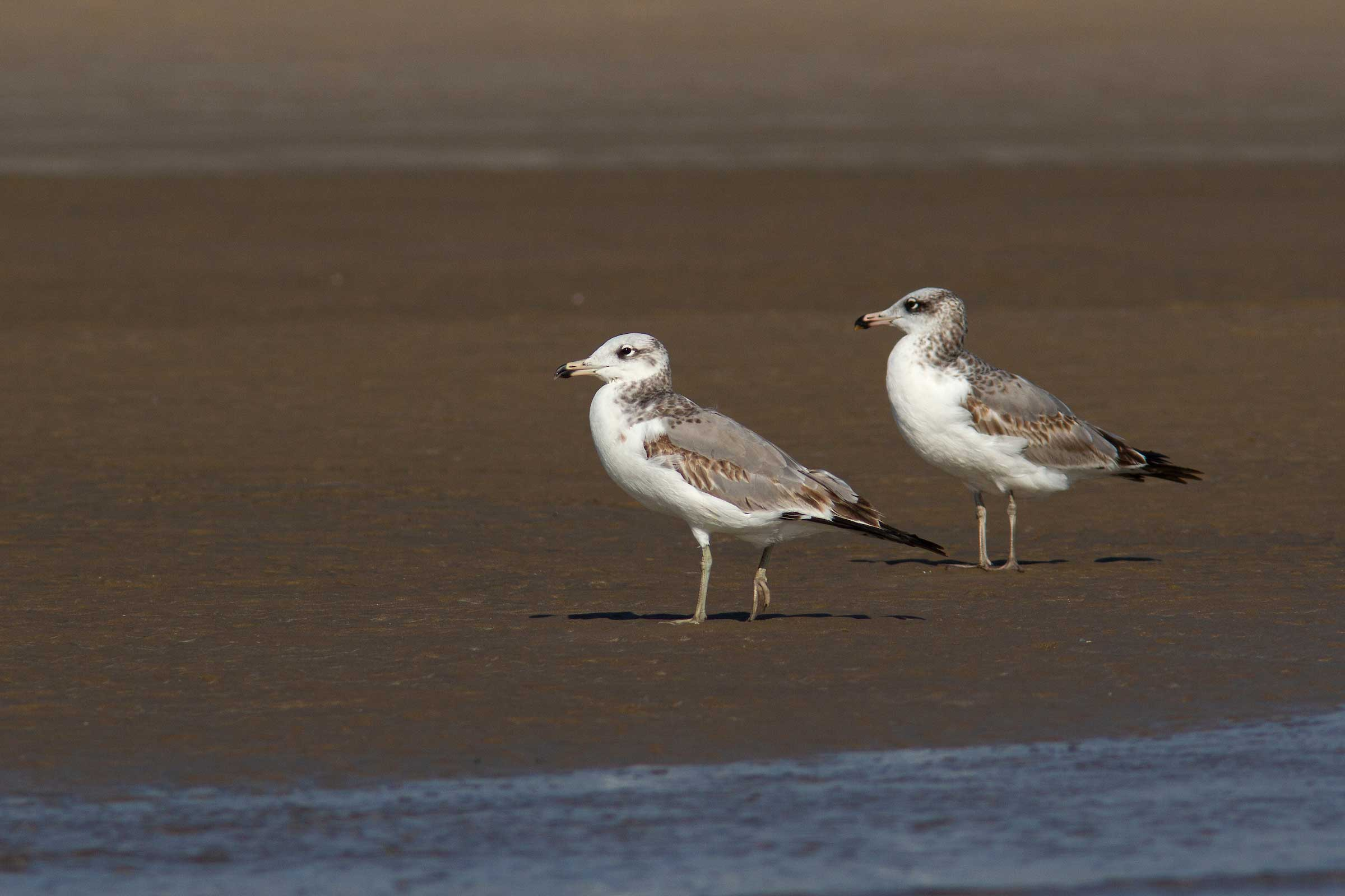 gulf-of-kutch-modwa-heuglin-gulls-juveniles-two
