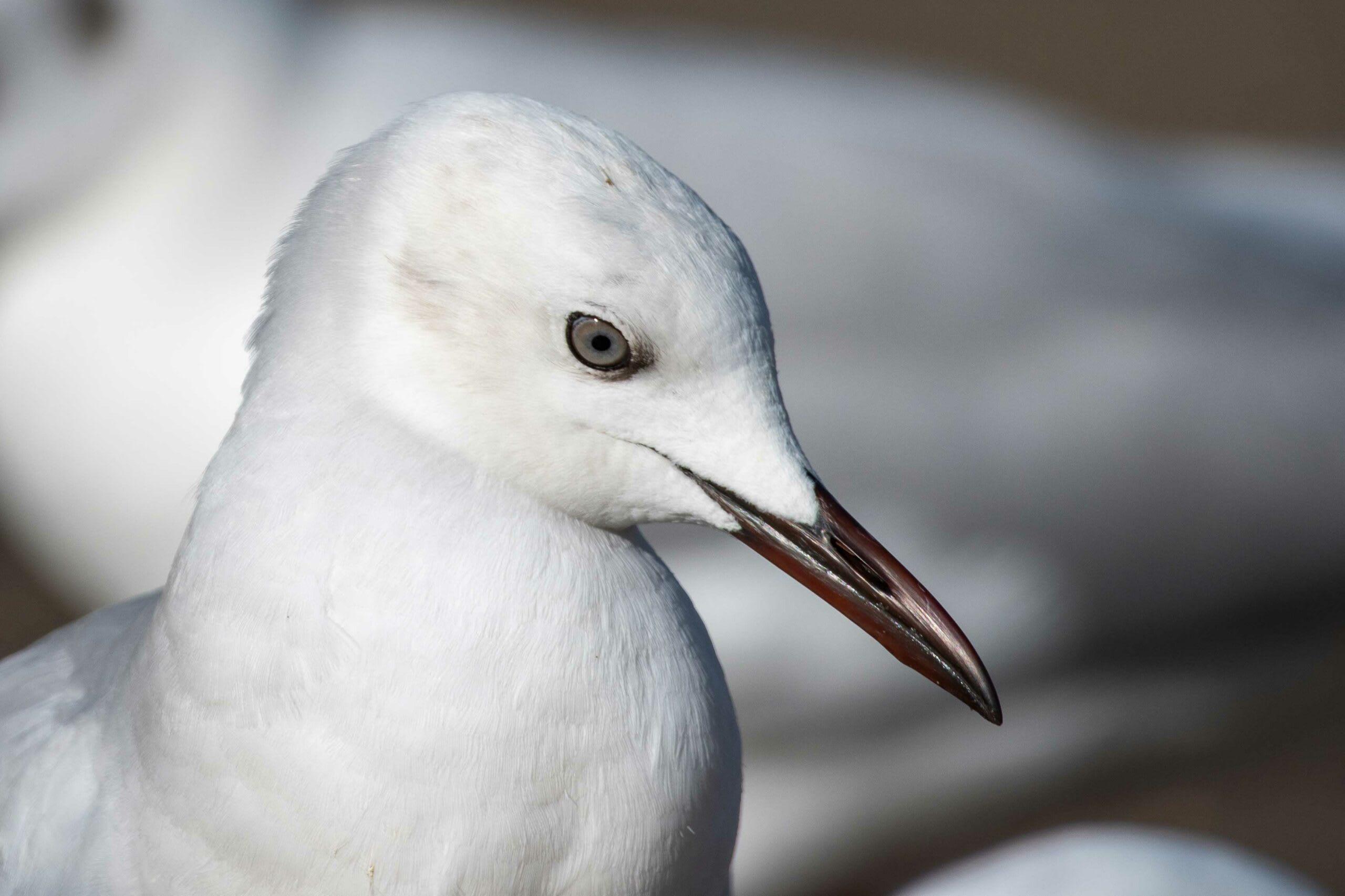 gujarat-slender-billed-gull-close-up