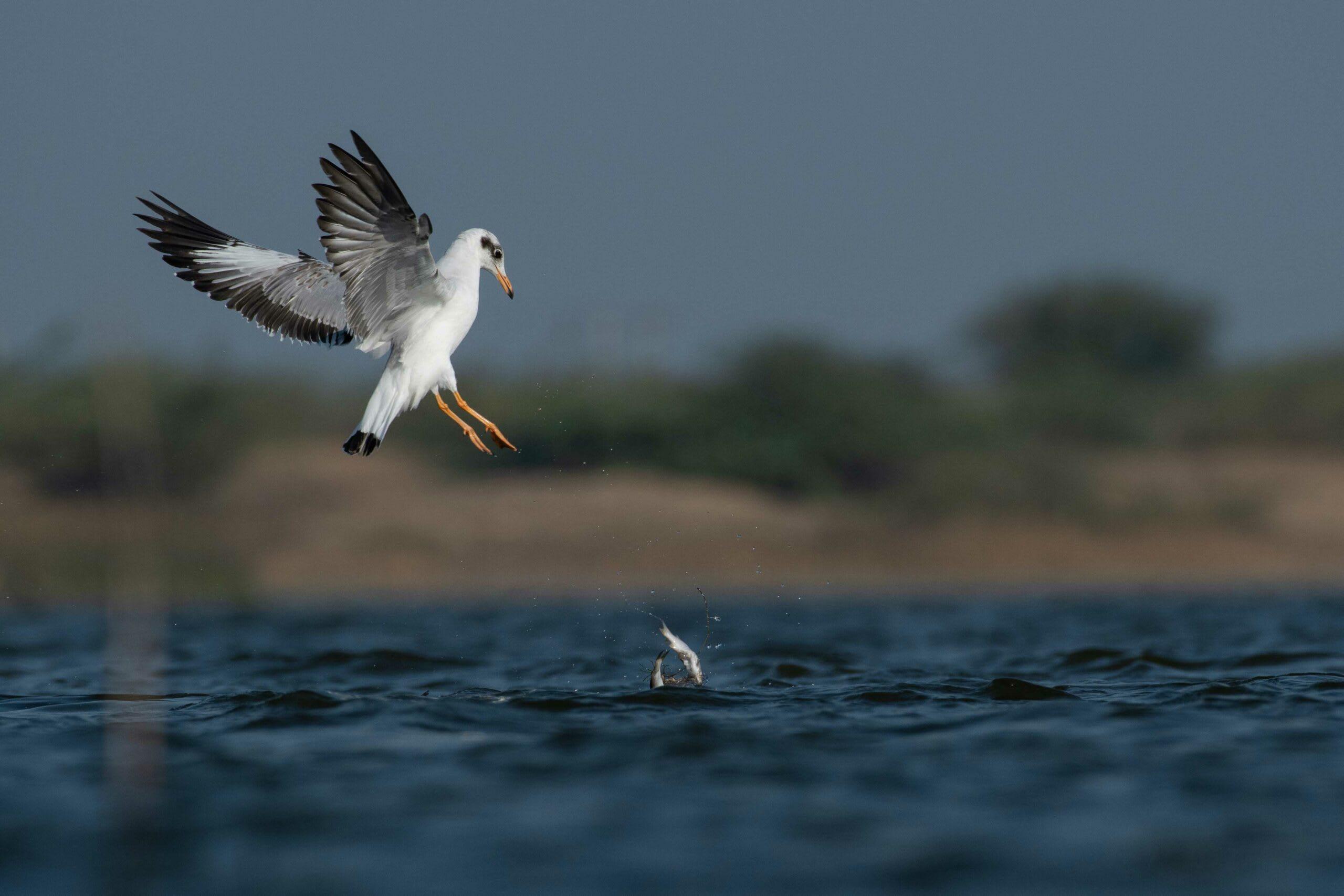 gujarat-jamnagar-brown-headed-gull-feeding-two-fish