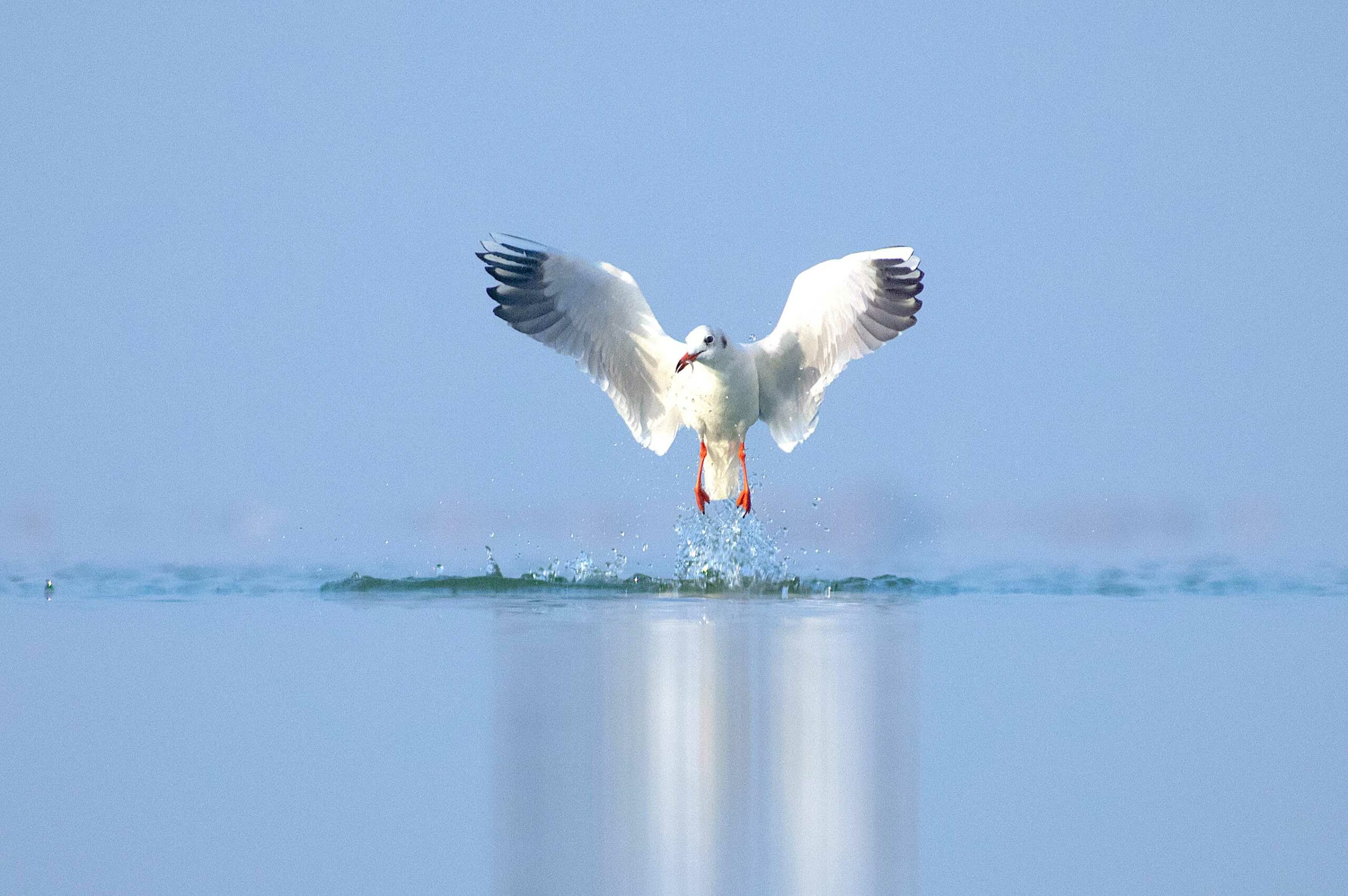 A black-headed gull scoops up a fish from the surface of a waterbody in Jamnagar. One of the smaller gull species, it takes prey from the water's surface while swimming or by dipping its head underwater. It also feeds on aquatic and terrestrial insects, earthworms, marine invertebrates, and grains.  As their popular names indicate, black-headed and brown-headed gulls sport a dark hood during the breeding season. However, during the non-breeding season in winter, they shed the dark hood, leaving only a dark spot behind the eye. Photo: Neel Sureja  Cover photo: Mayank Soni