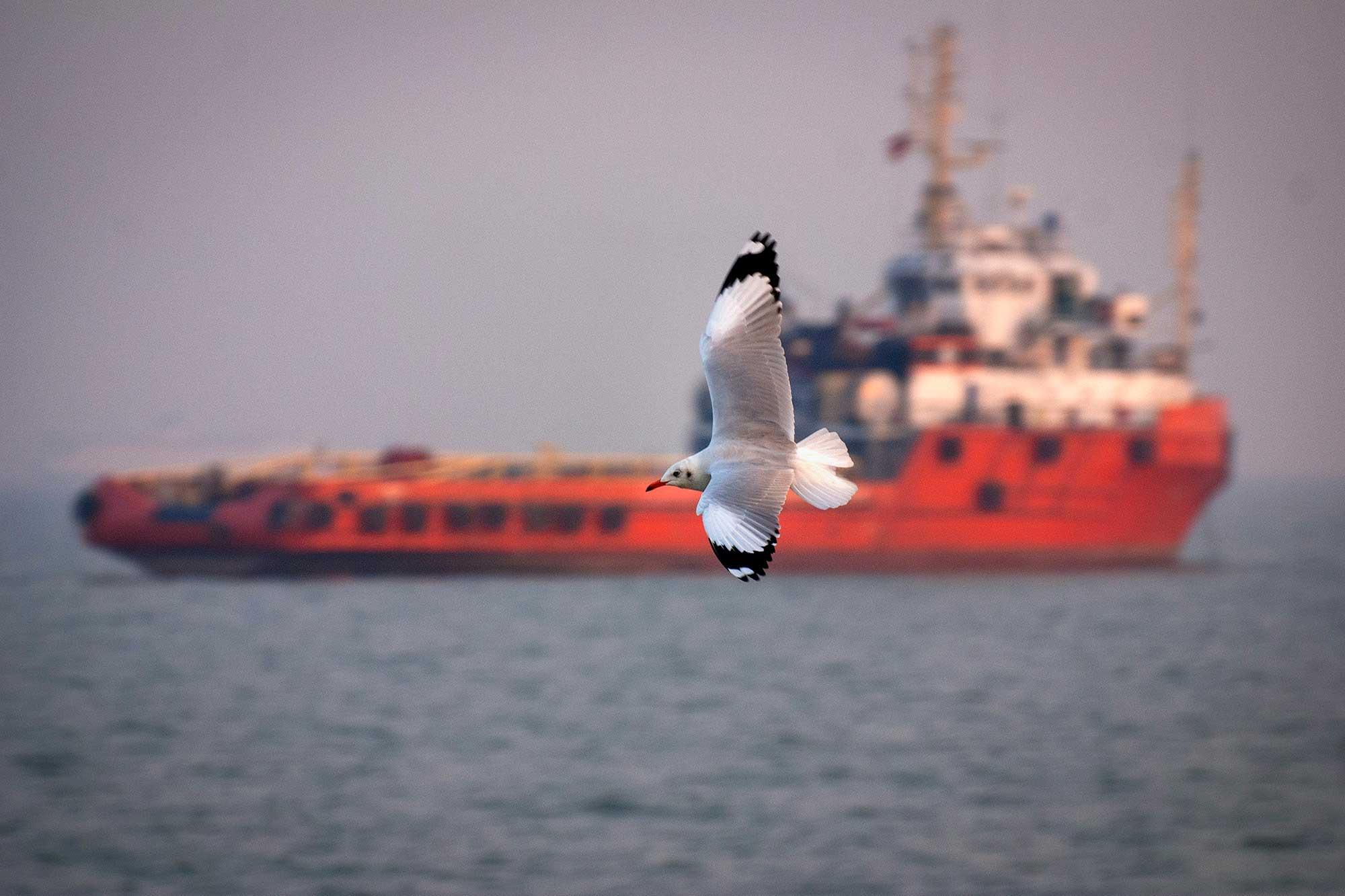 black-headed-gull-in-flight-with-ship-in-backdrop